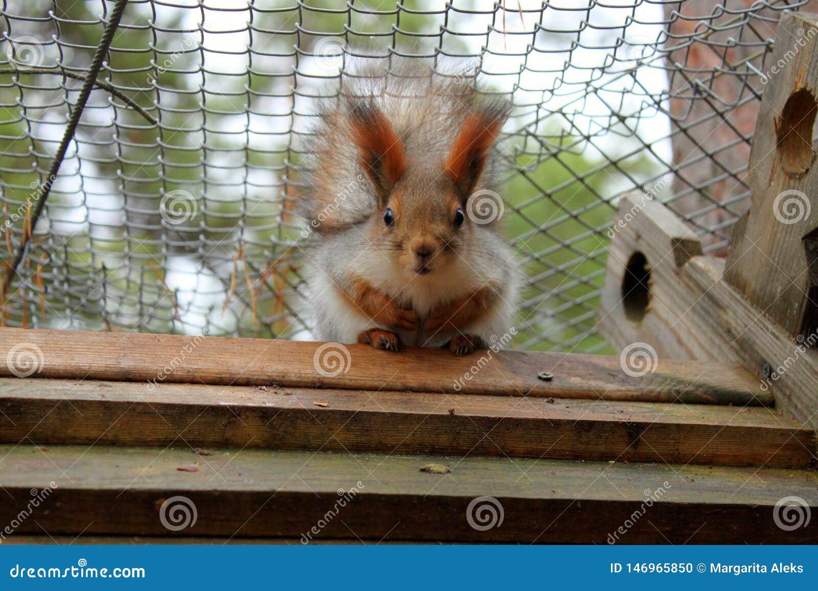 Czerwona wiewiórka z dużymi oczami