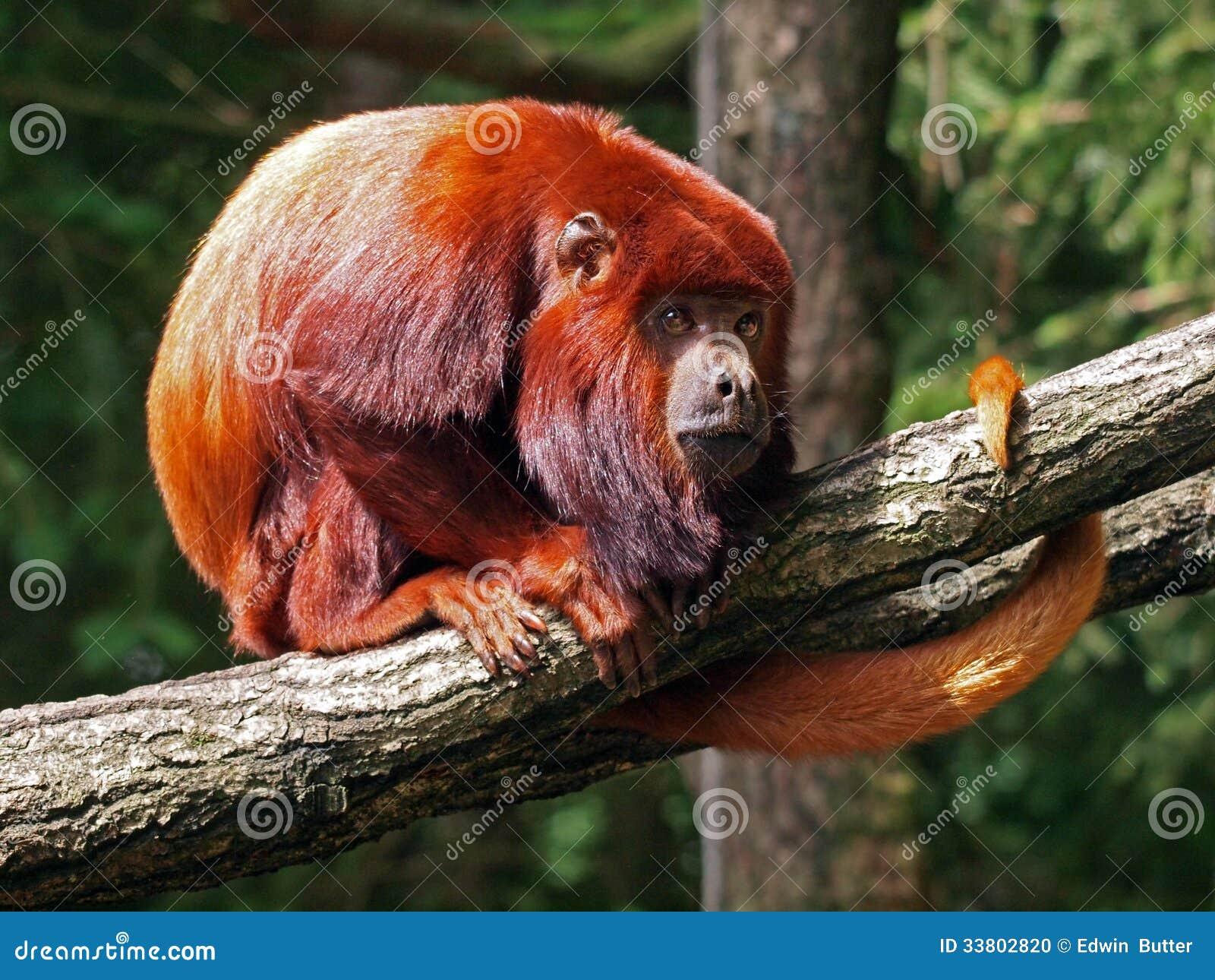 Czerwona wyjec małpa