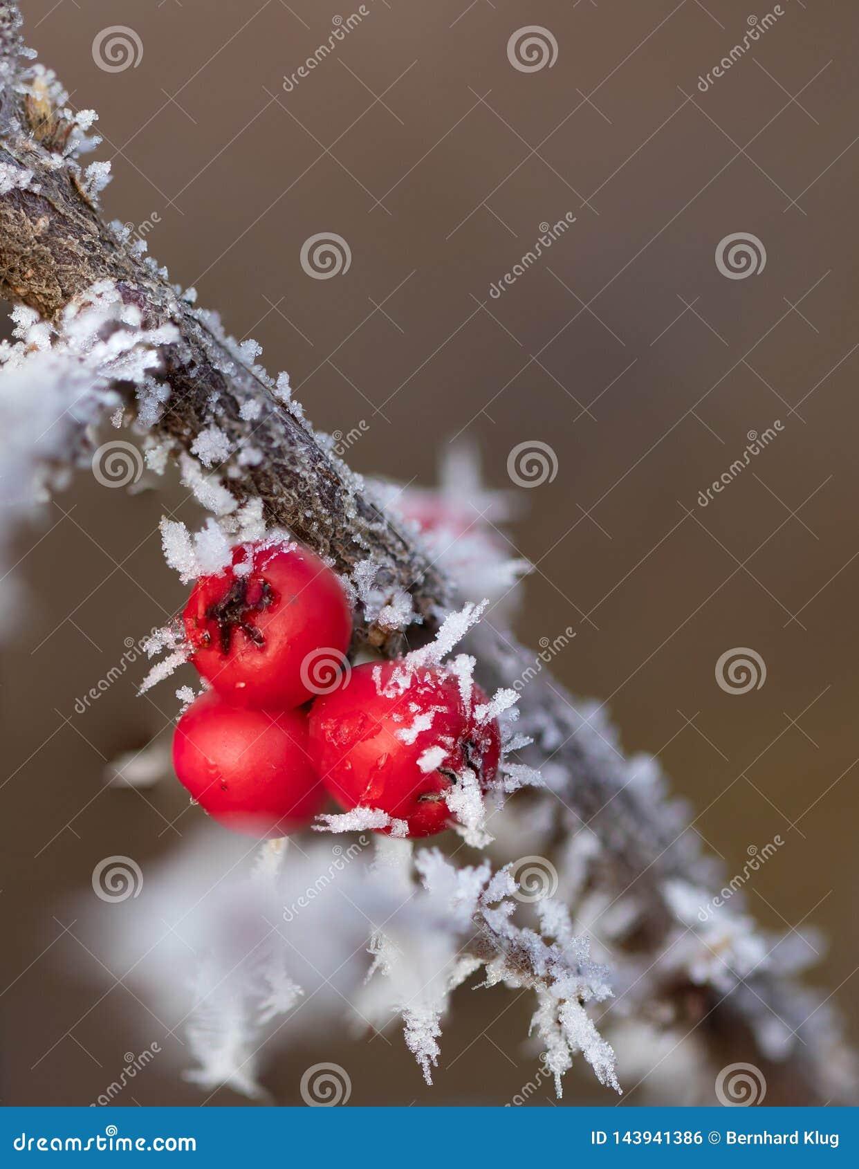 Czerwone jagody z lodowymi igłami