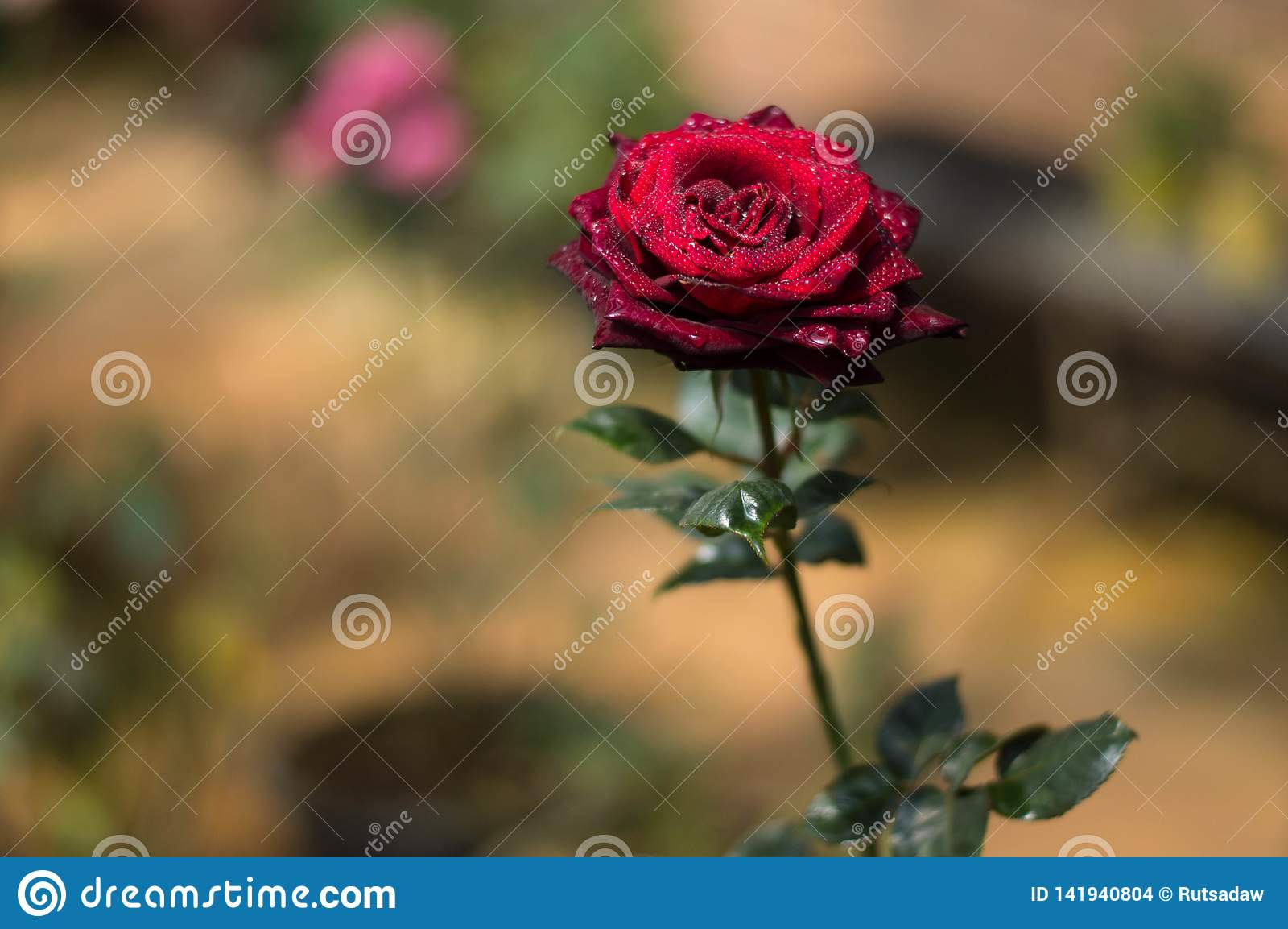 Czerwone róże w ogródzie
