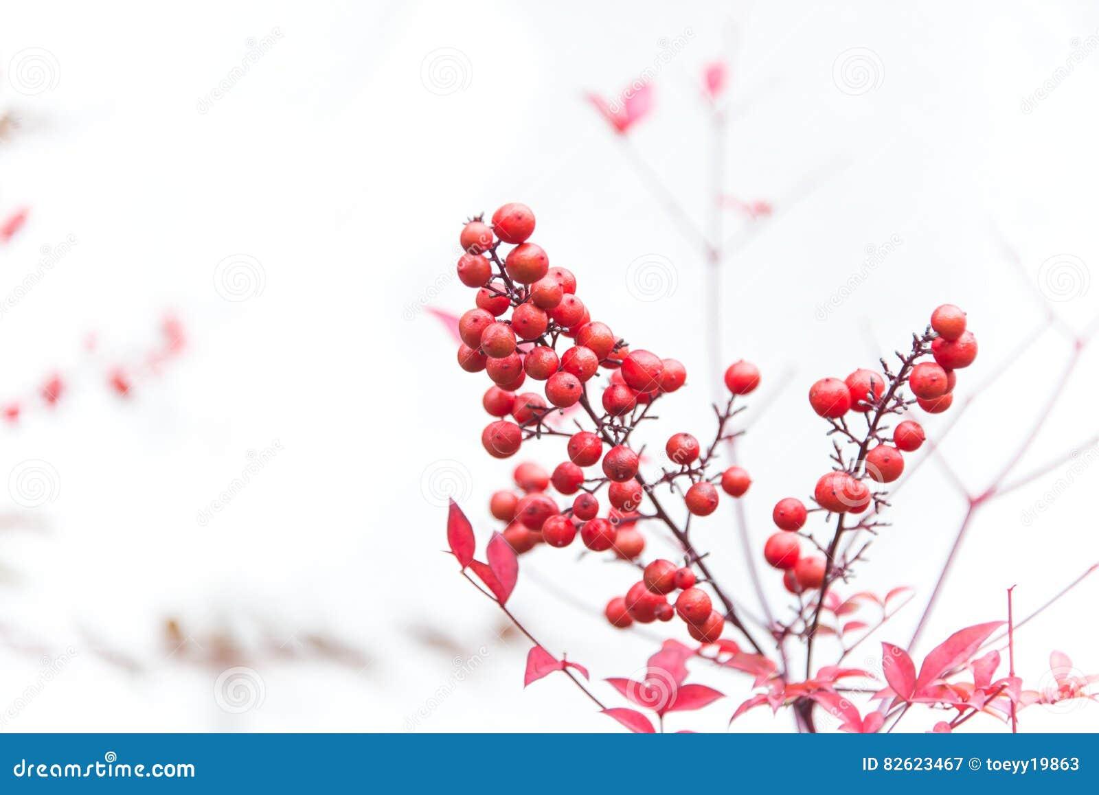 Czerwone rowan jagody