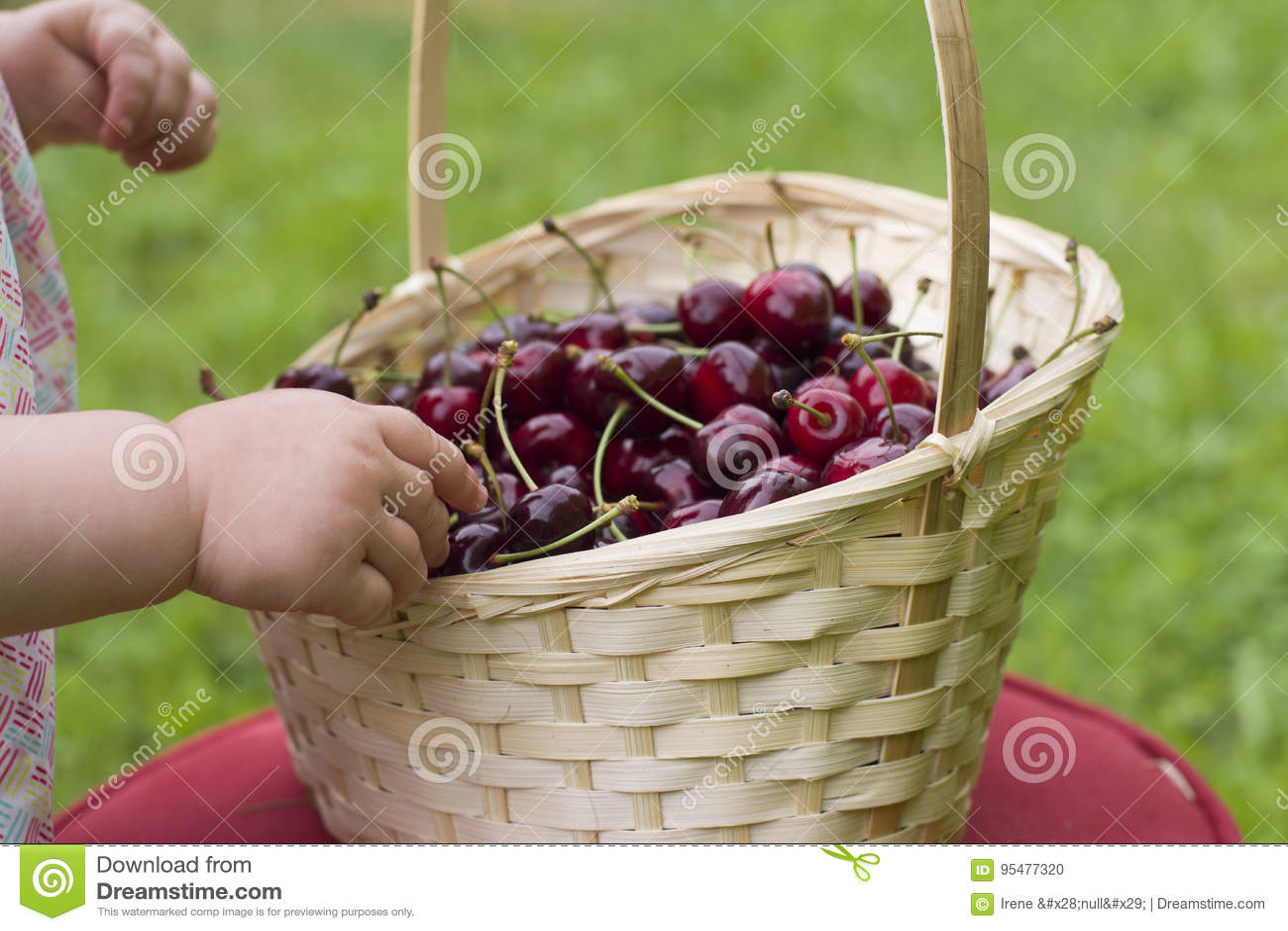 Czerwone wiśnie w rękach dziecko