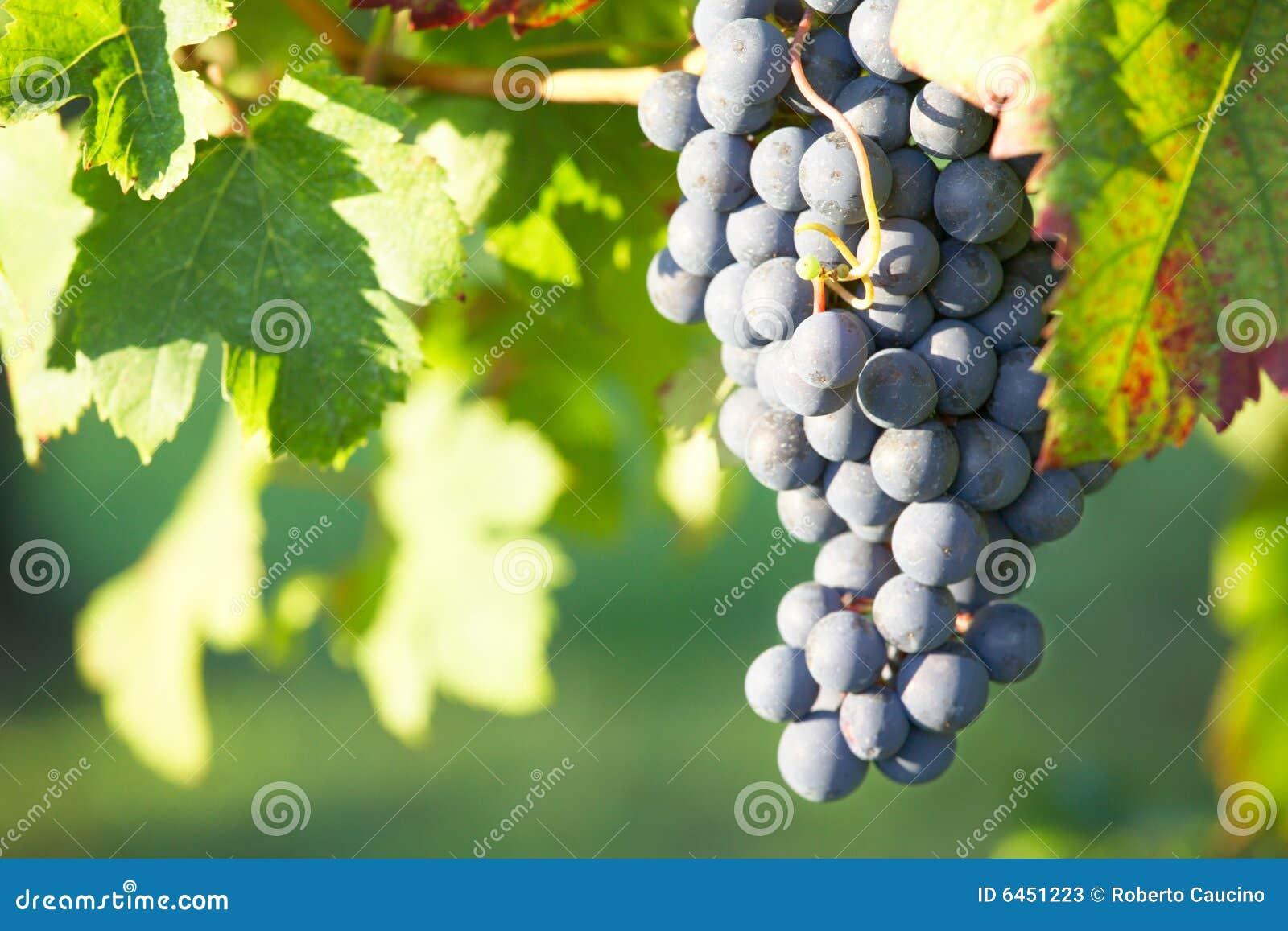 Czerwone wino z winogron