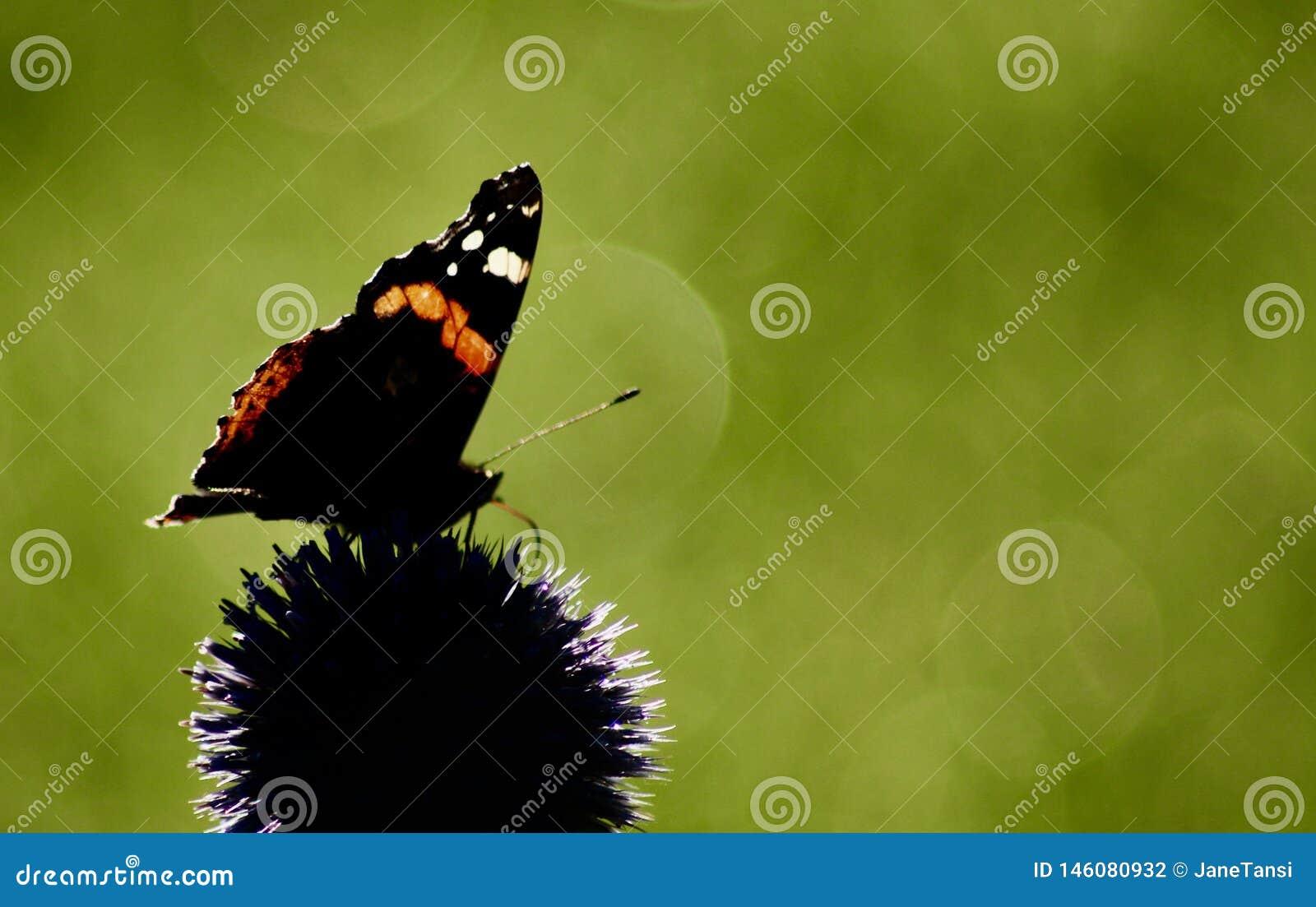 Czerwonego admiral motyl na echinops kwiacie przeciw zieleni zamazywał tło