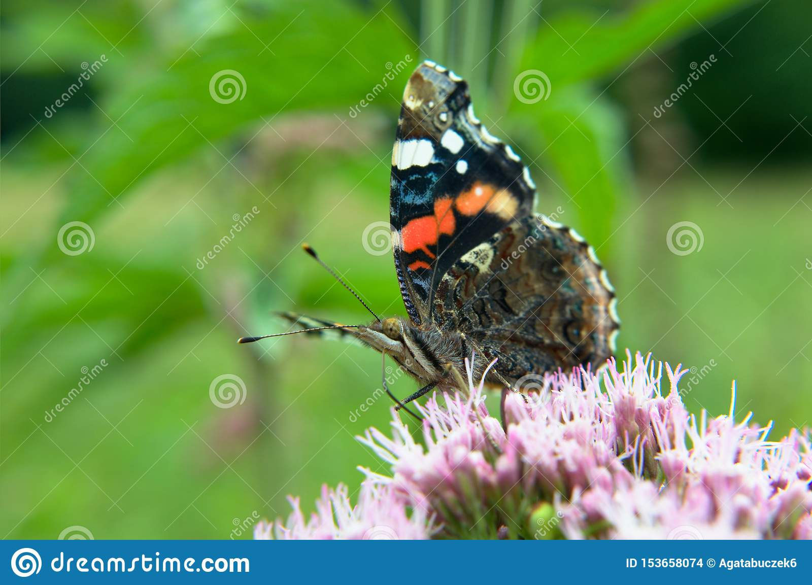 Czerwonego Admiral motyl na kwiacie