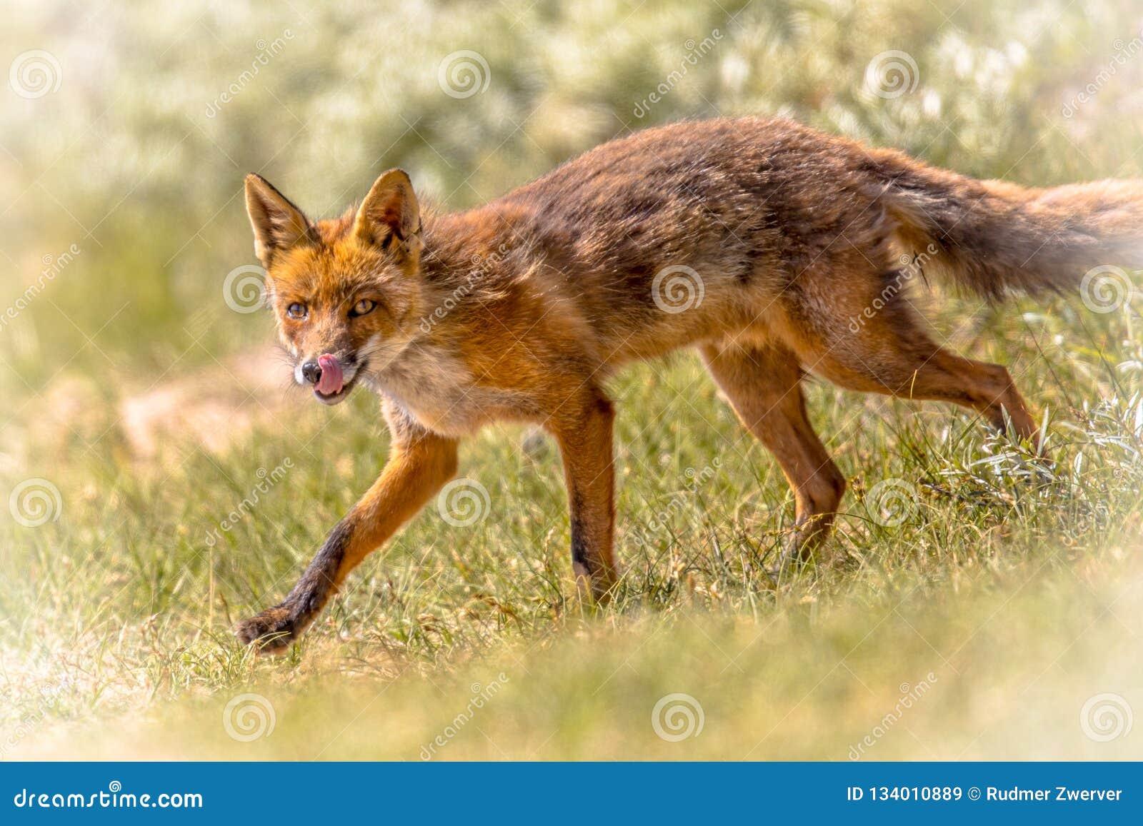 Czerwonego Fox oblizanie i odprowadzenie
