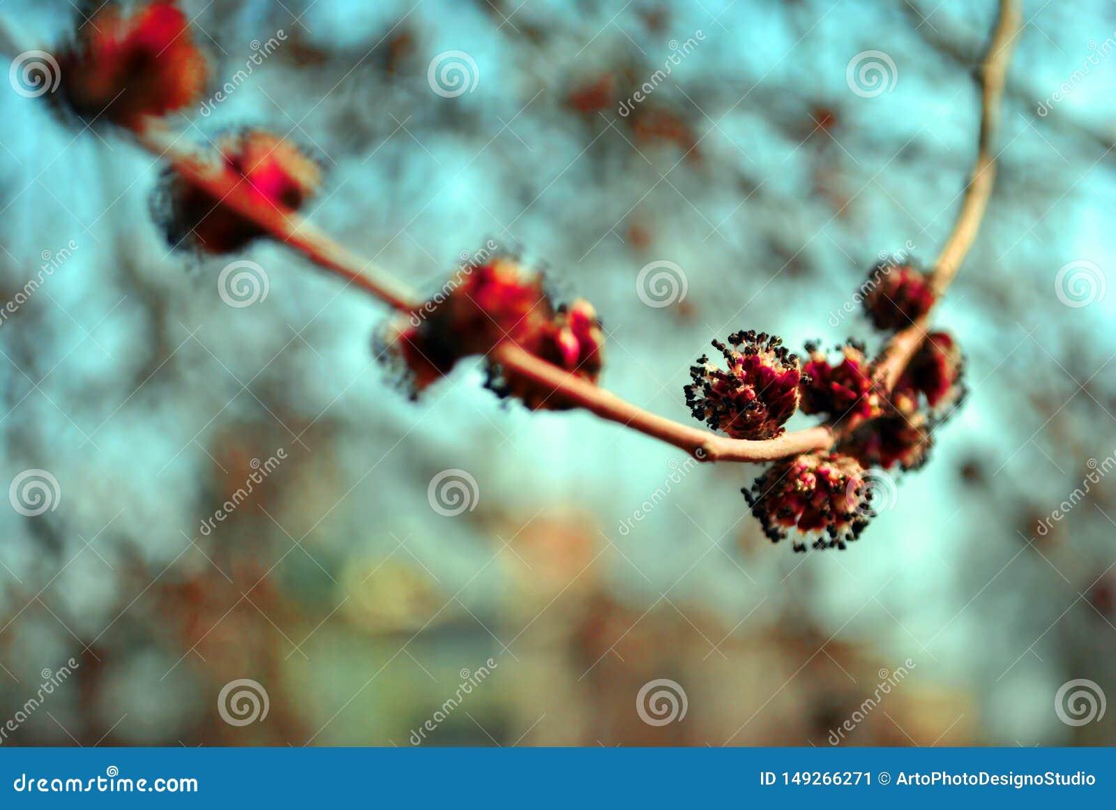 Czerwonego klonu kwiatów Acer rubrum gałąź z nowymi wiosen menchiami kwitnie, rozmyty nieba bokeh tło