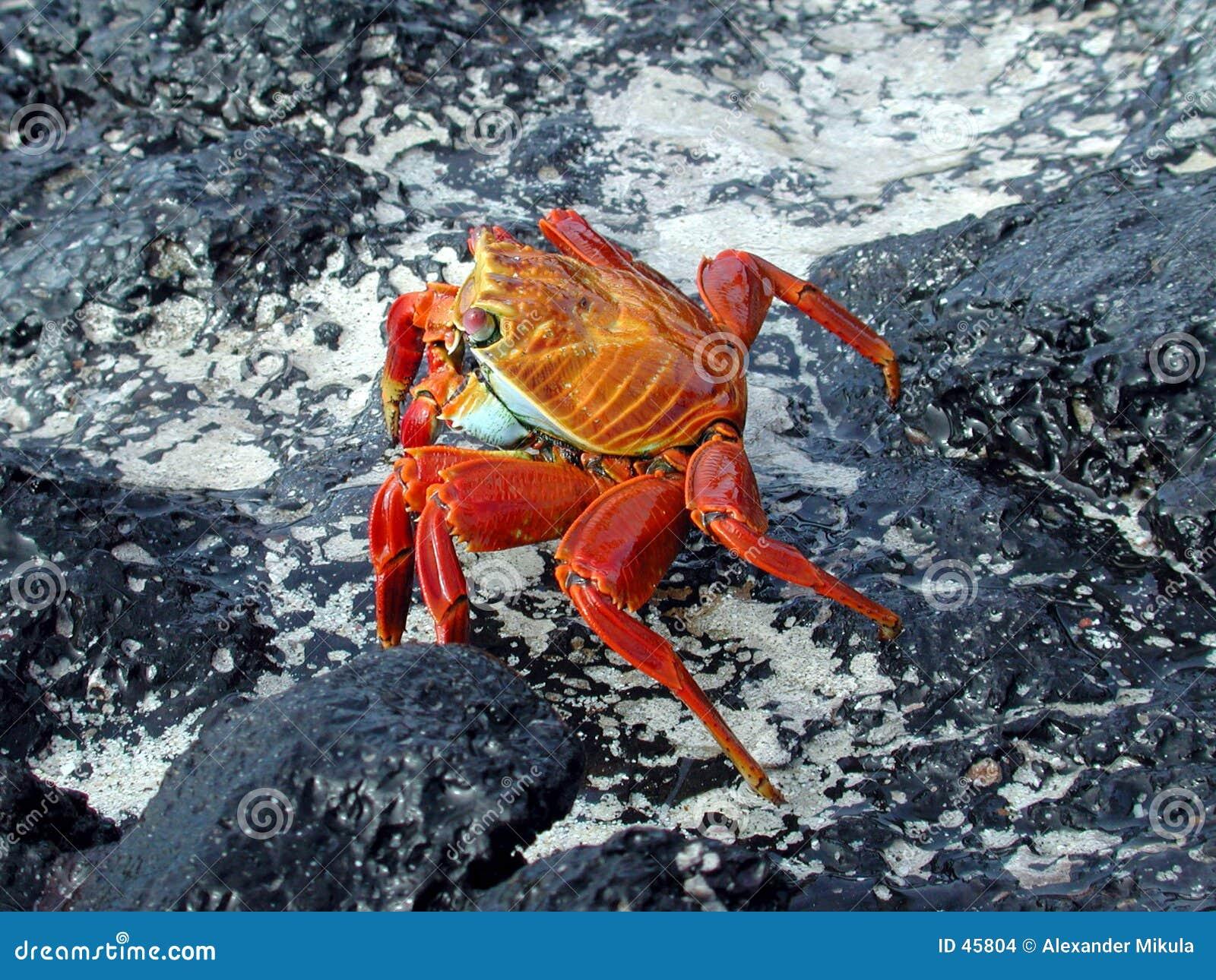 Czerwonego kraba