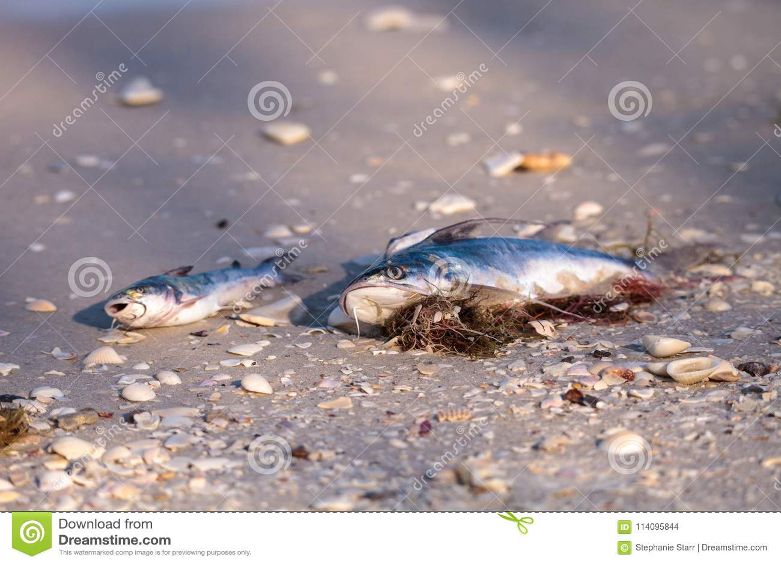 Czerwonego przypływu przyczyny łowią myć w górę nieboszczyka