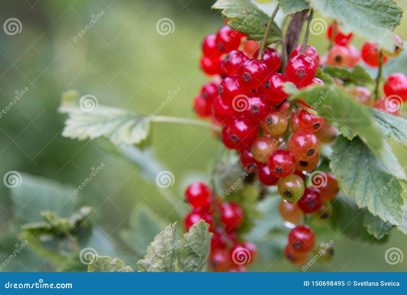 Czerwonego rodzynku obwieszenie na krzaku w owocowym ogródzie