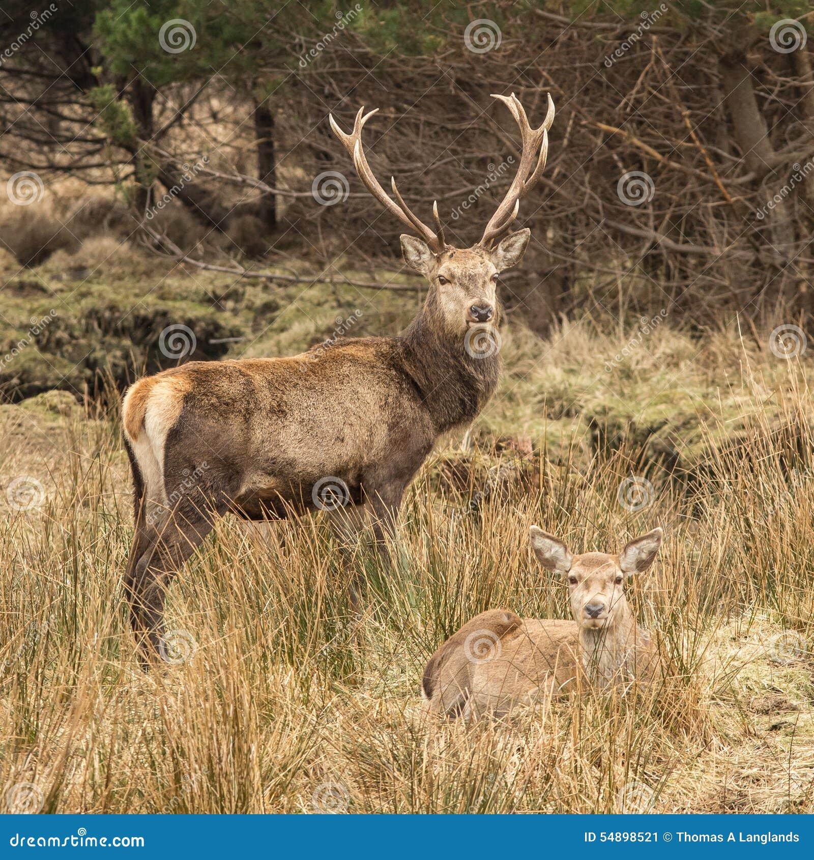 Czerwonego rogacza łania i jeleń