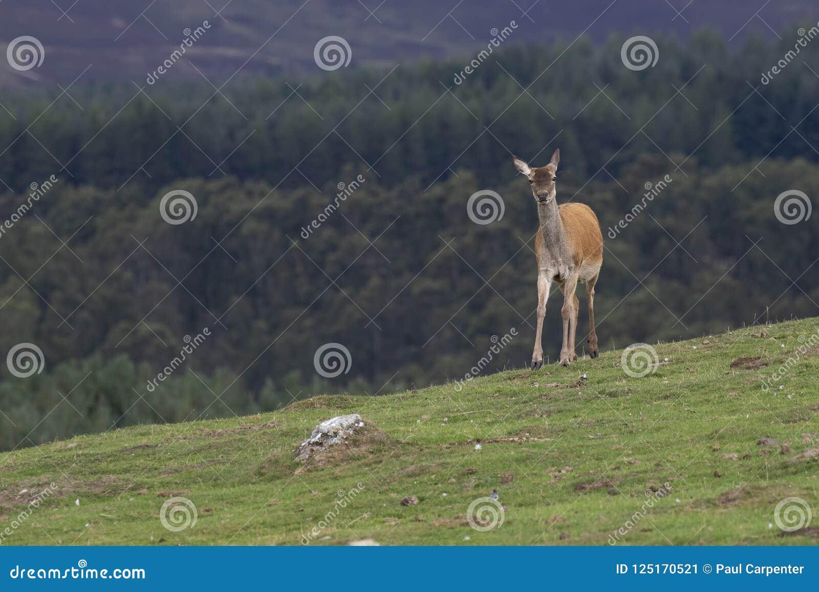 Czerwonego rogacza łanie, Cervus elaphus scoticus, pasa na trawie z sosnowym lasem w tle podczas Września w cairngorms narodzie