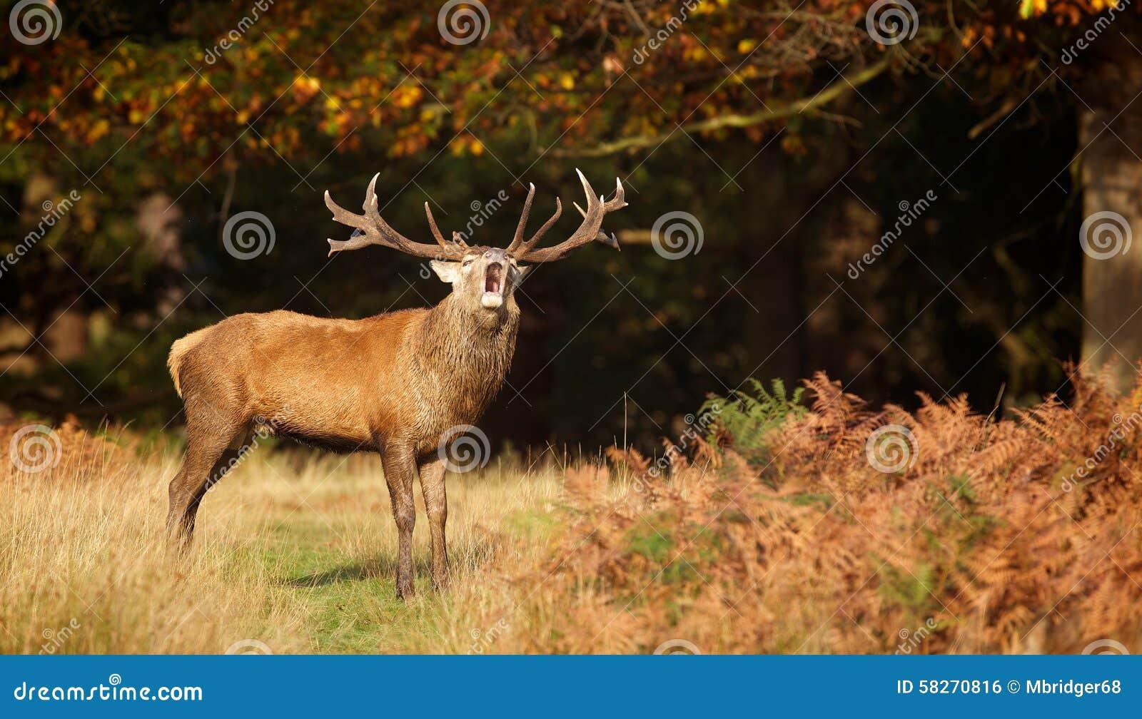 Czerwonego rogacza jeleń