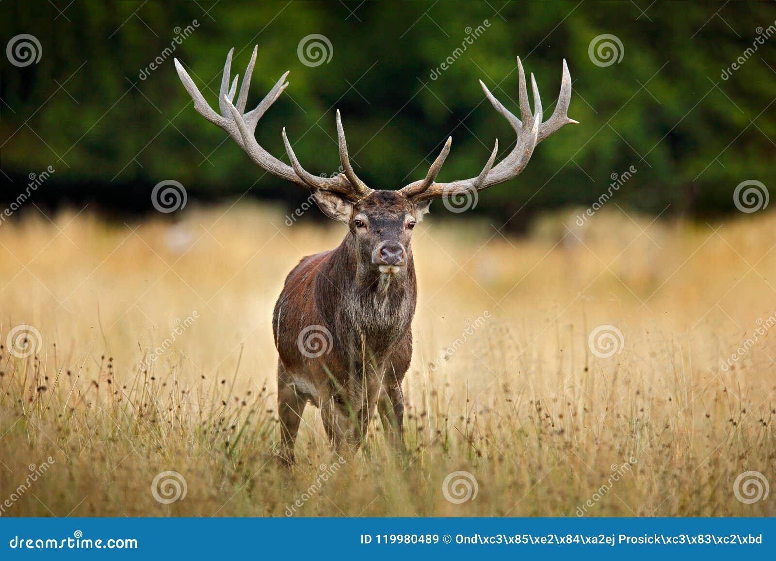 Czerwonego rogacza jeleń, majestatyczny potężny dorosły zwierzę na zewnątrz jesieni lasowego Dużego zwierzęcia w natury lasowym s