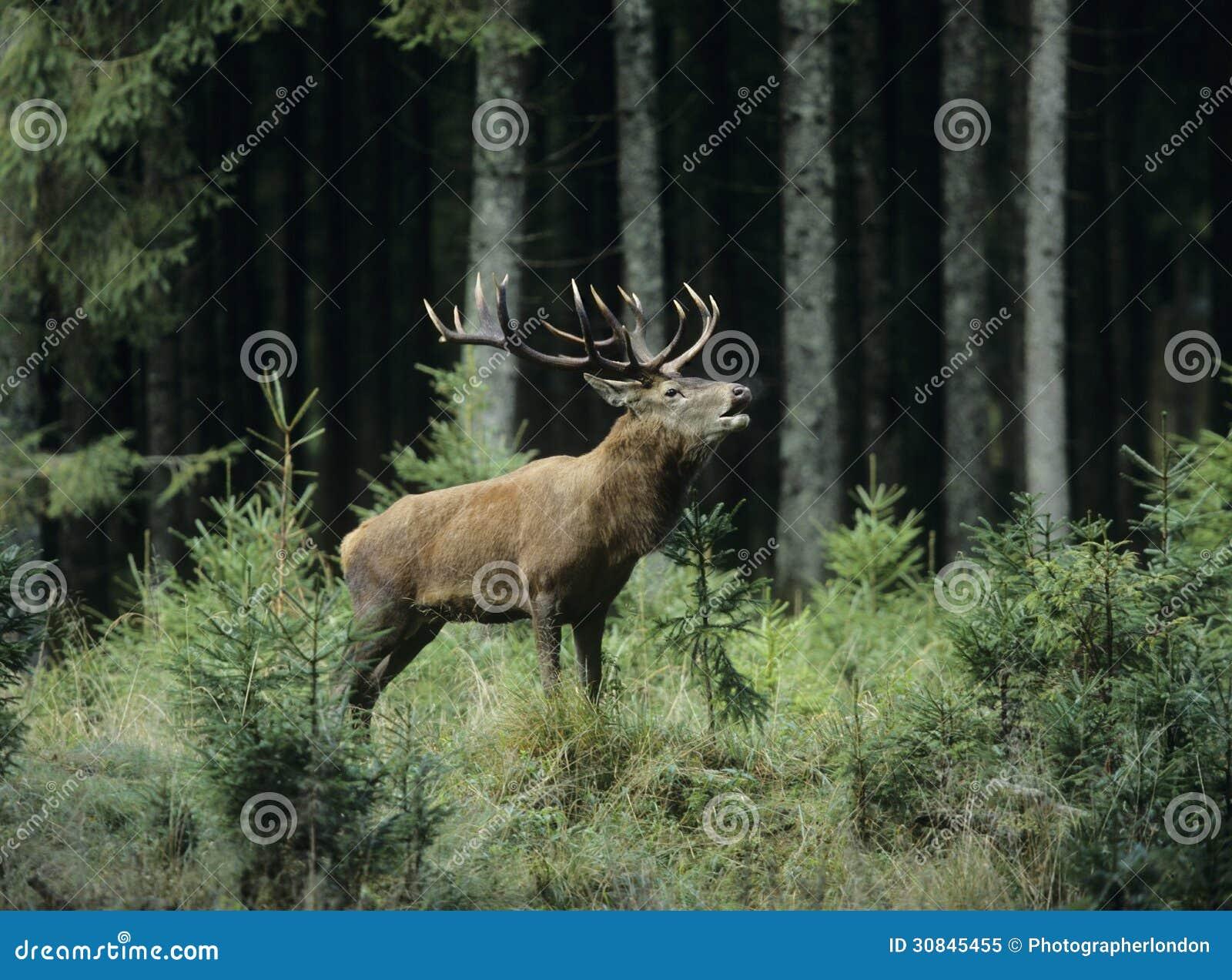 Czerwonego rogacza jeleń w lesie