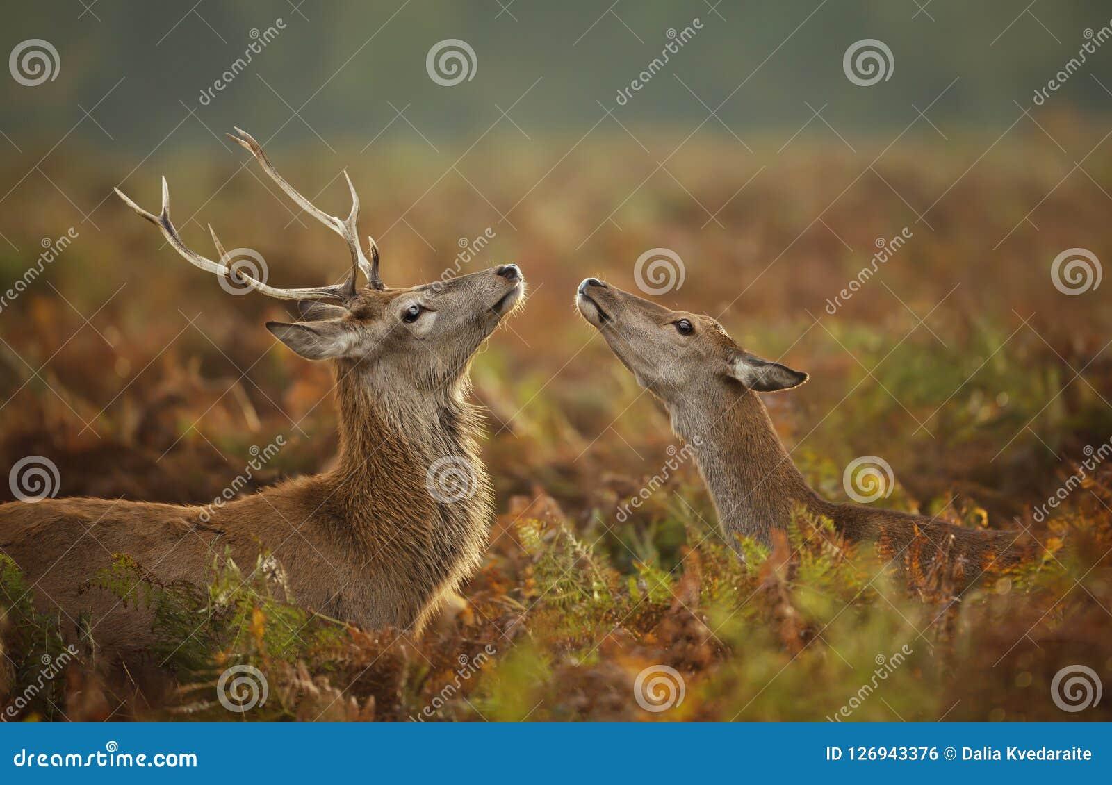 Czerwonego rogacza jeleń z łanią