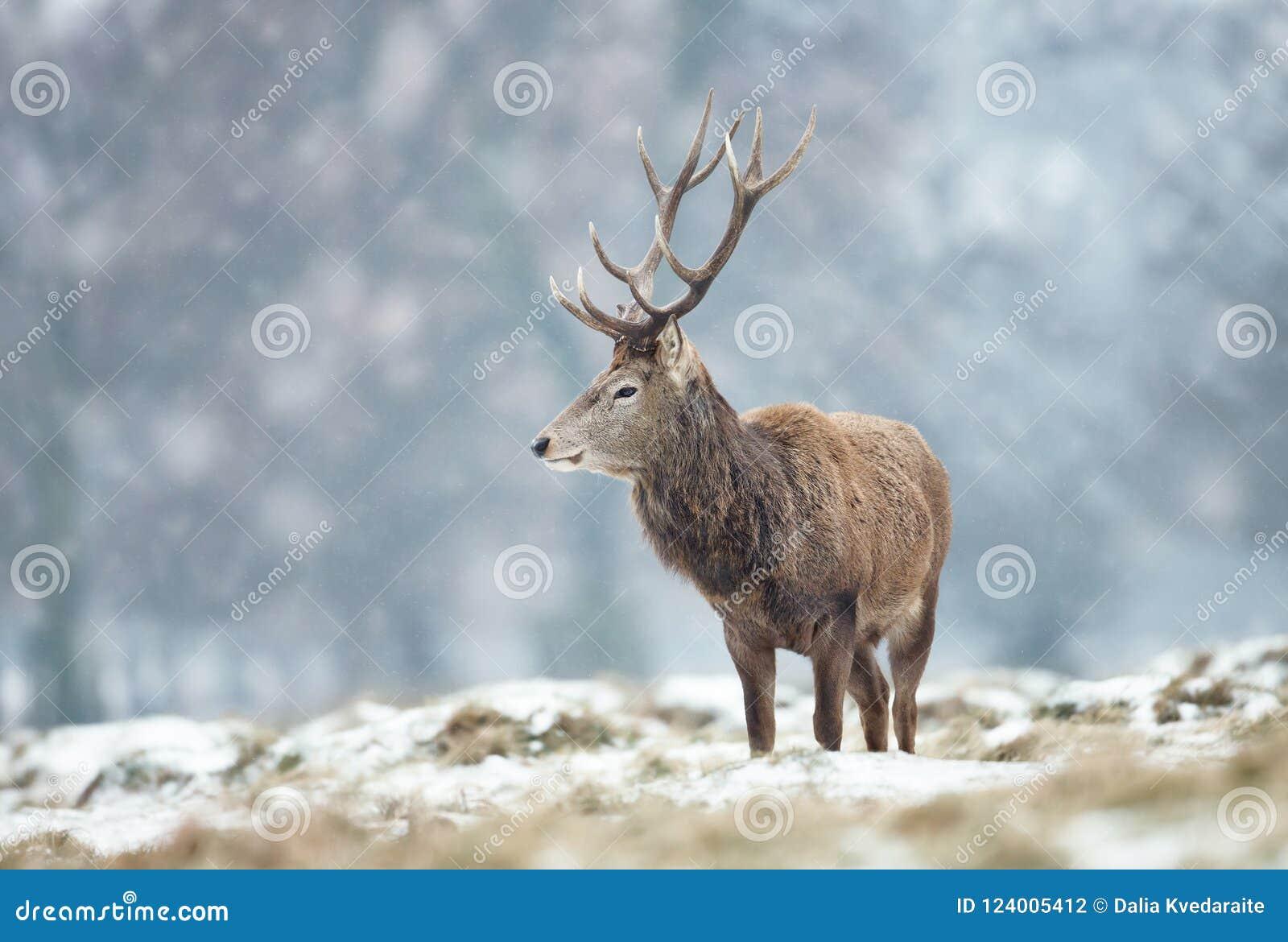 Czerwonego rogacza jelenia pozycja na ziemi zakrywającej z śniegiem