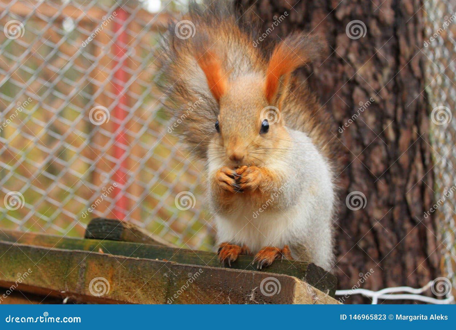 Czerwonej wiewiórki łupania i obsiadania ziarno przy ona do domu
