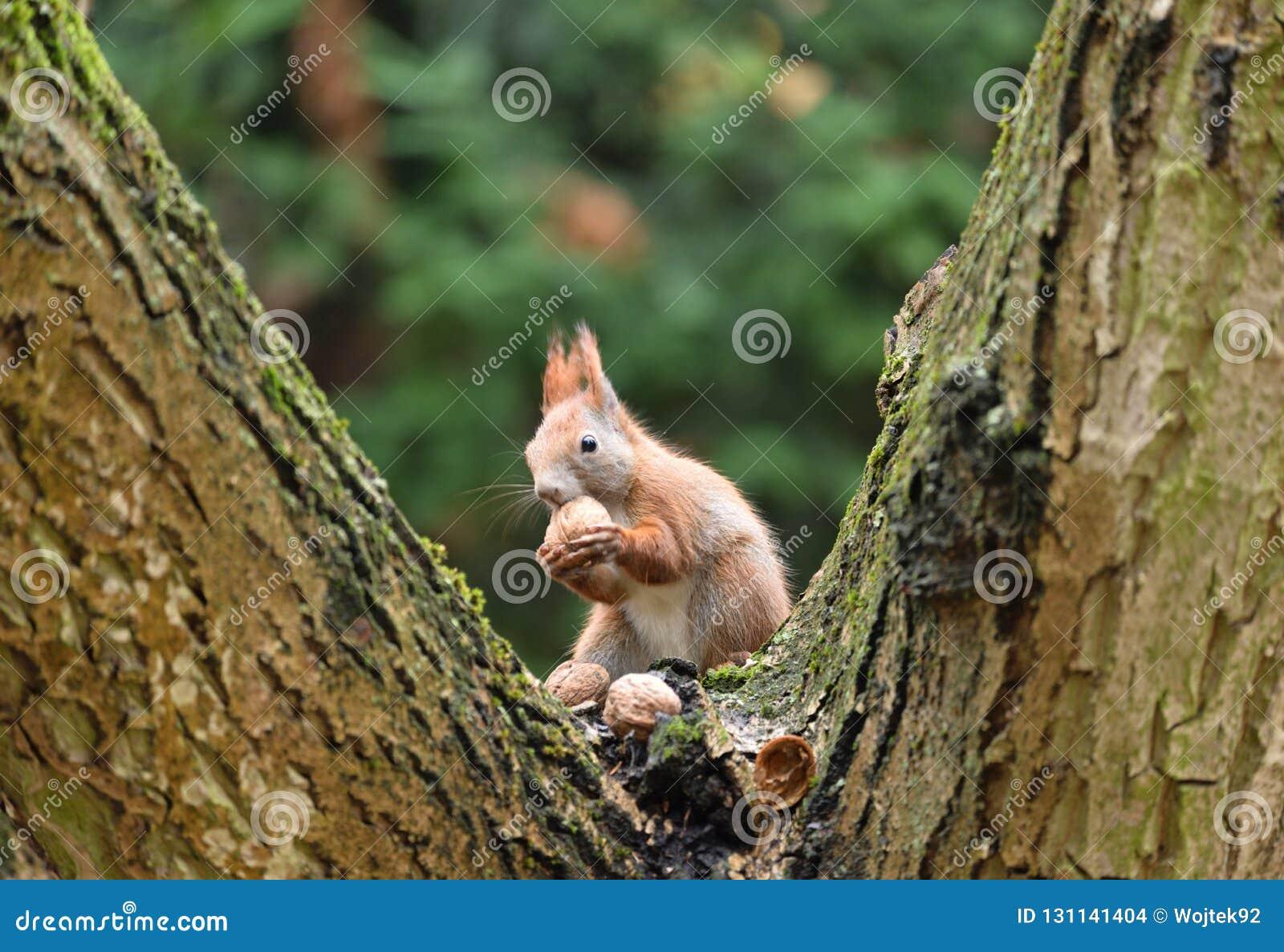 Czerwonej wiewiórki Sciurus Vulgaris Somwhere w Polska