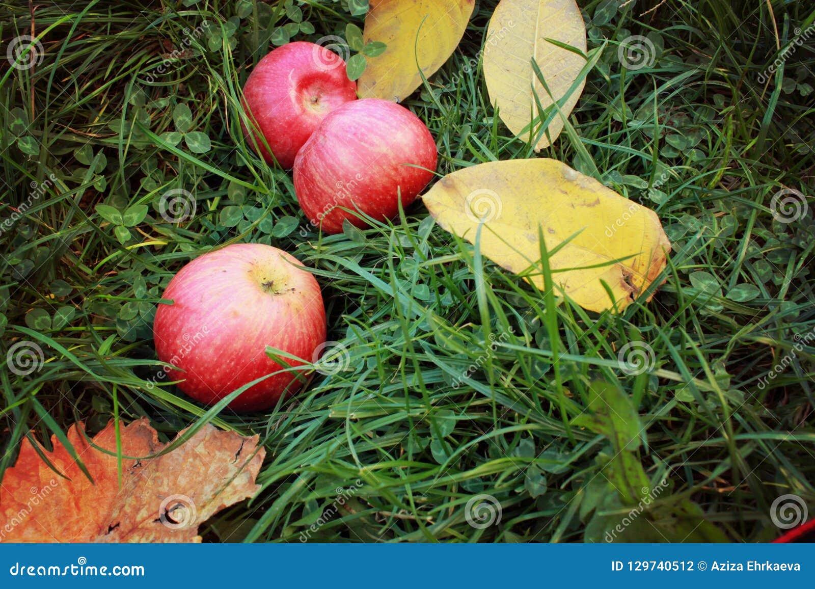 Czerwoni dojrzali jabłka na zielonej trawie, dojrzałych owoc i żółtych jesień liściach,