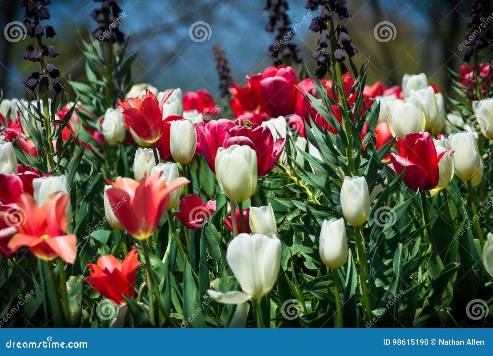 Czerwoni i Biali tulipany w Monticello ` s Robiącym manikiur ogródzie