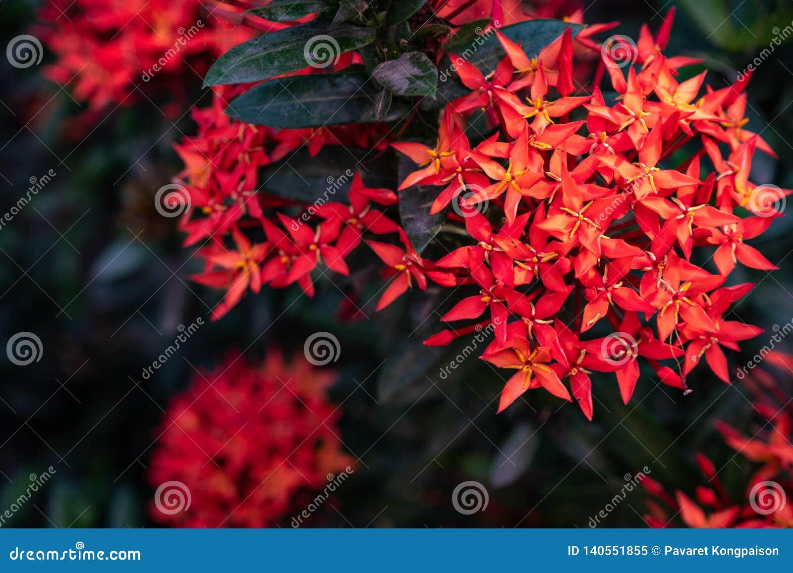 Czerwoni igielni kwiatostany w ogródzie