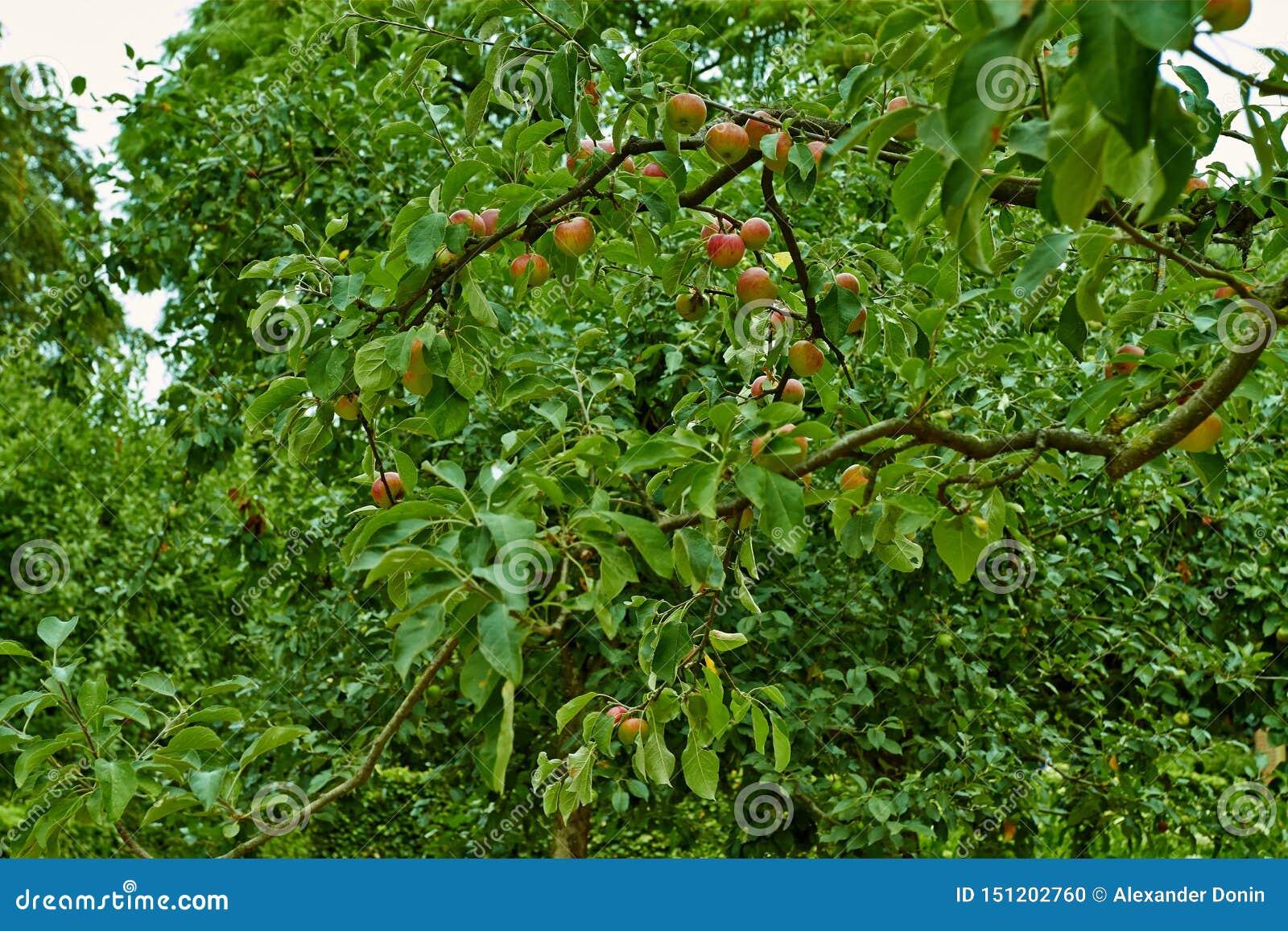 Czerwoni jabłka na gałąź jabłoń Holandie, Lipiec