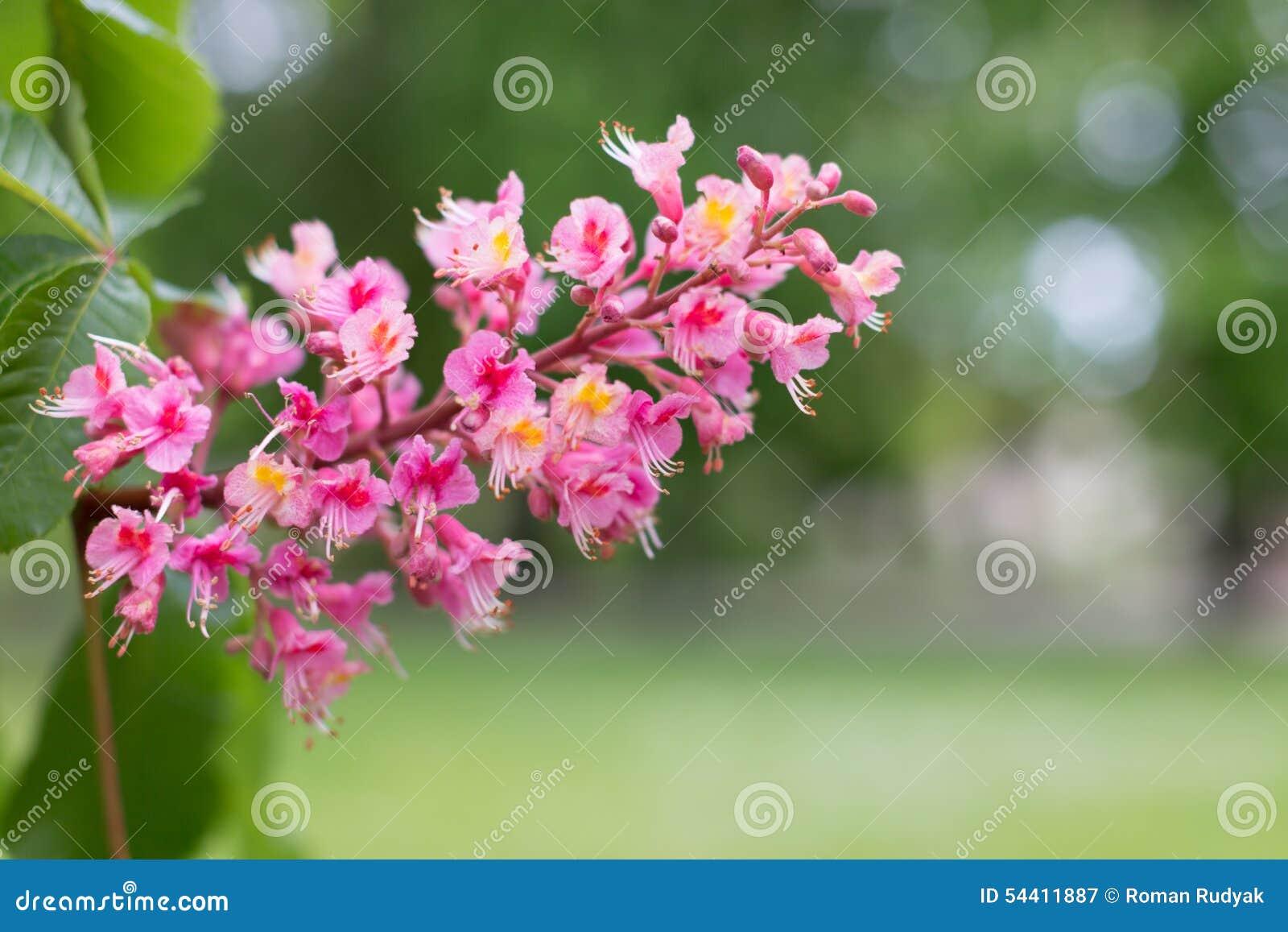 Czerwoni końscy cisawego drzewa kwiaty