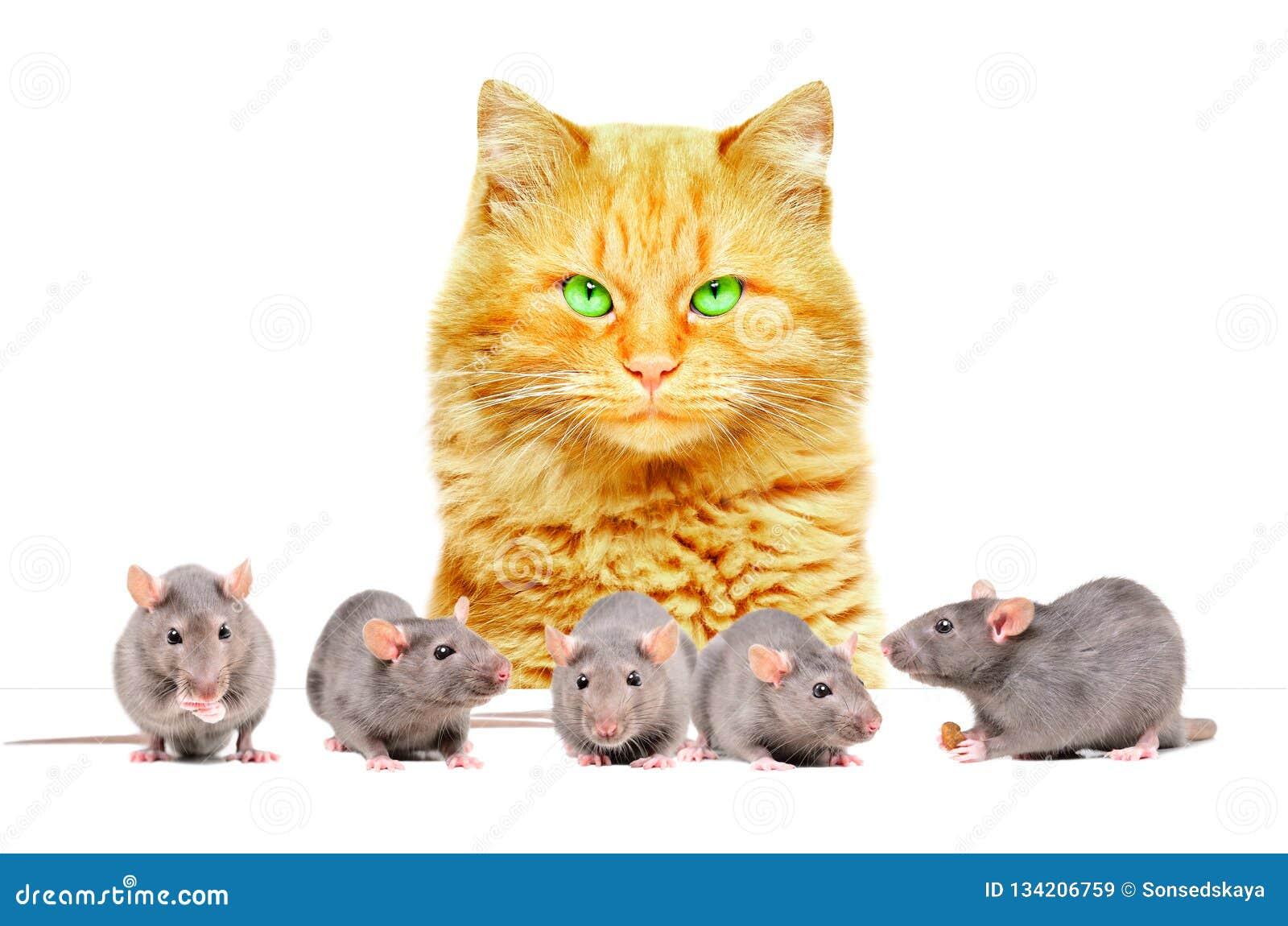 Czerwoni kota dopatrywania szczury