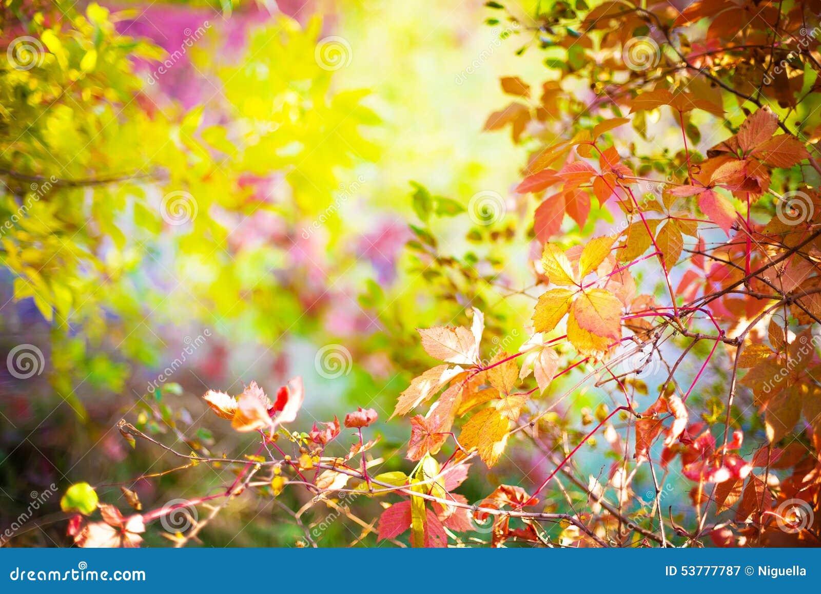 Czerwoni liście dzicy winogrona w drzewach w parku, jesieni seaso