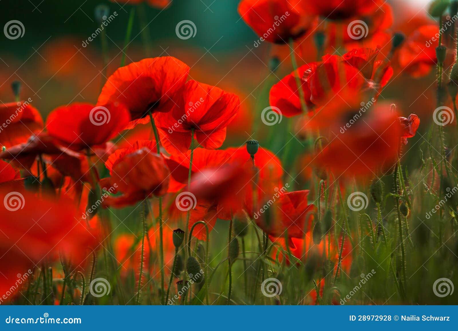 Czerwoni maczków kwiaty