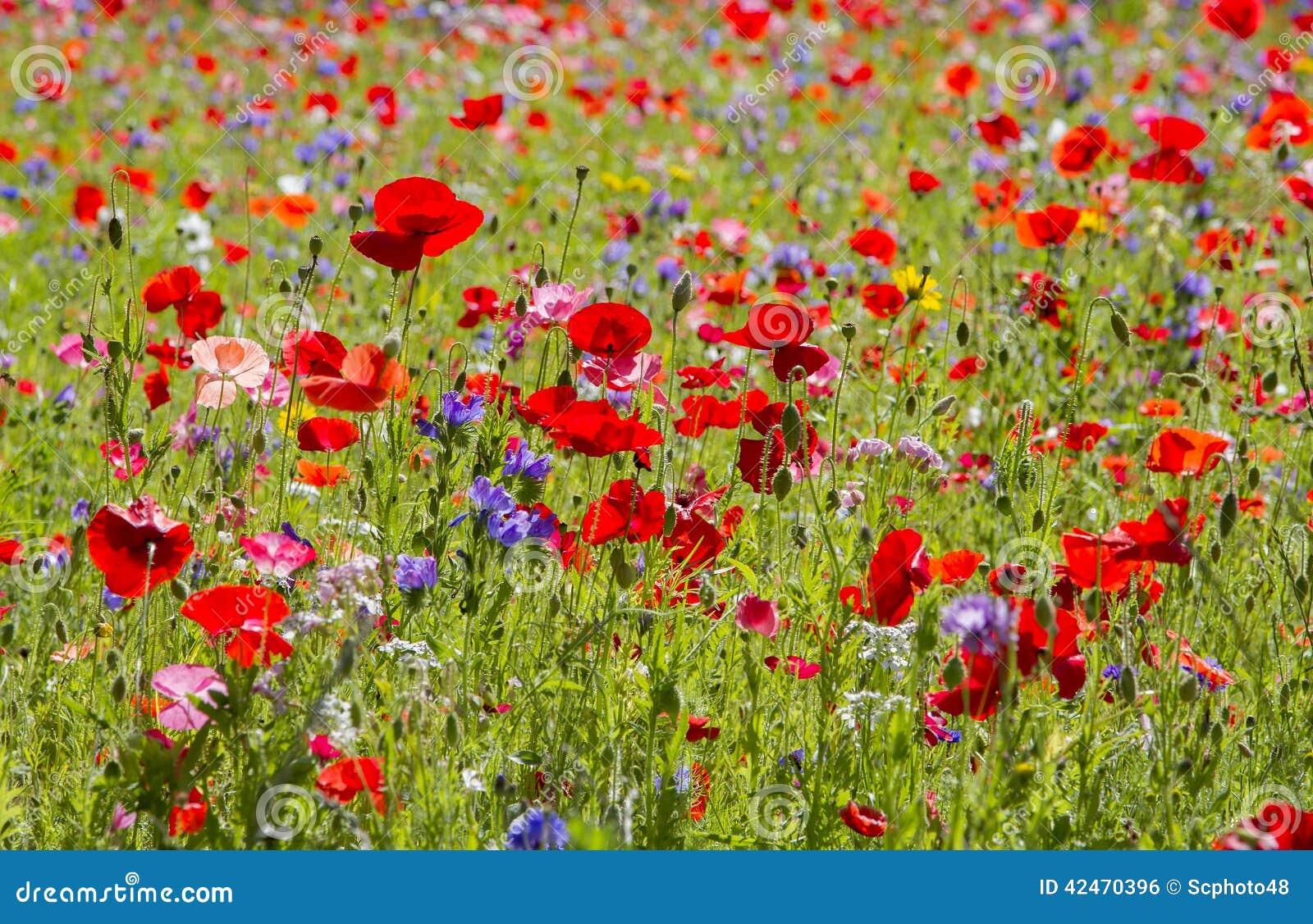 Czerwoni maczki i dzicy kwiaty
