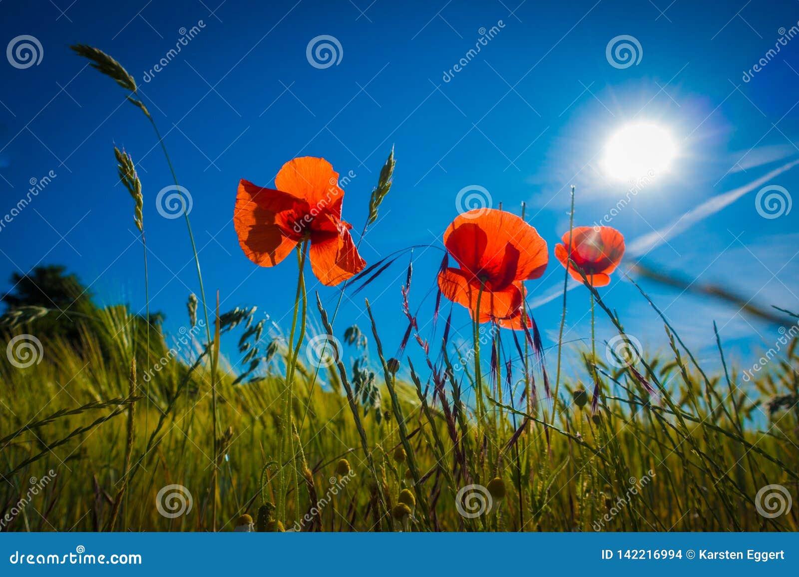 Czerwoni maczki w polu uprawnym w świetle słonecznym