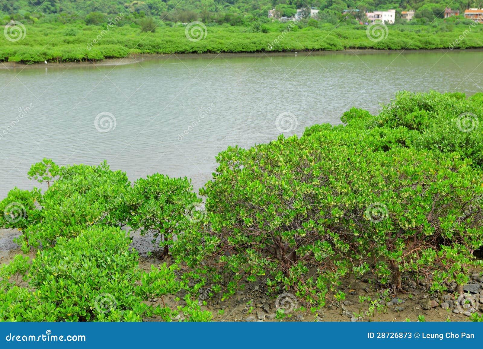 Czerwoni mangrowe