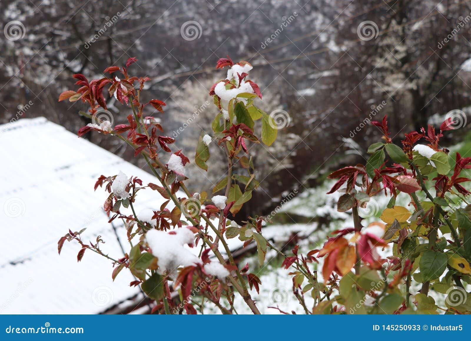 Czerwoni trzony rosewood pod śniegiem