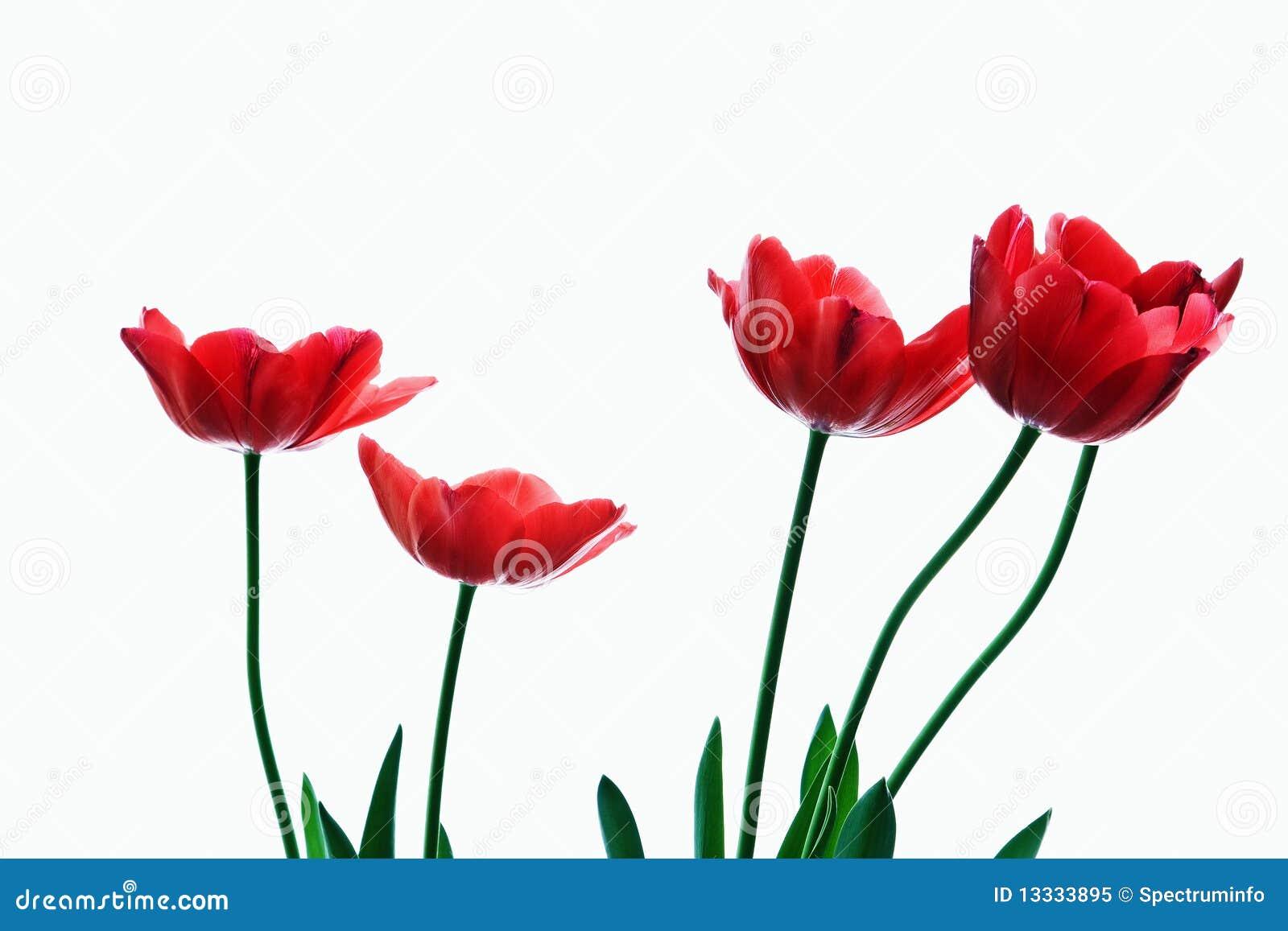 Czerwoni tulipany