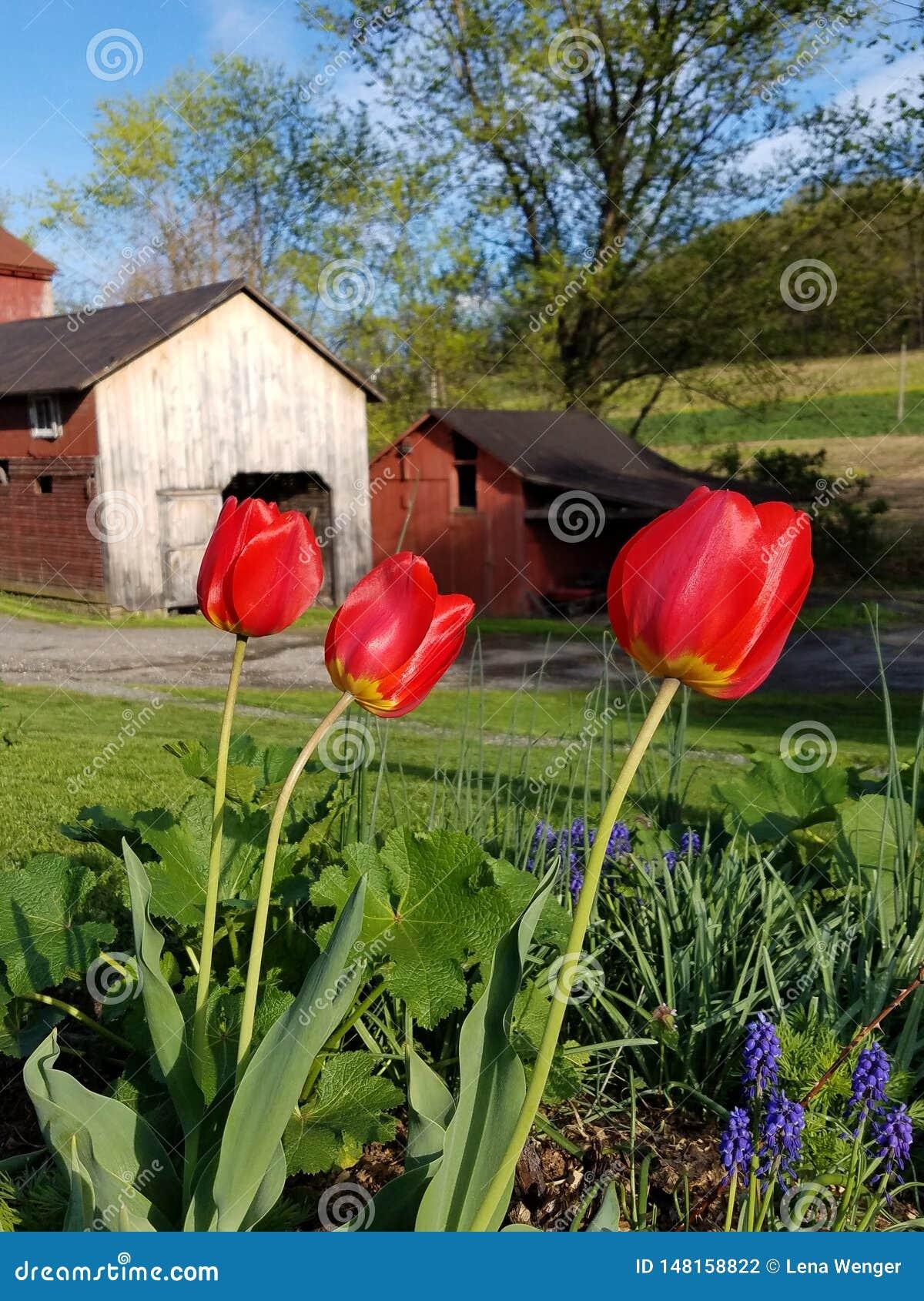 Czerwoni tulipany i jata