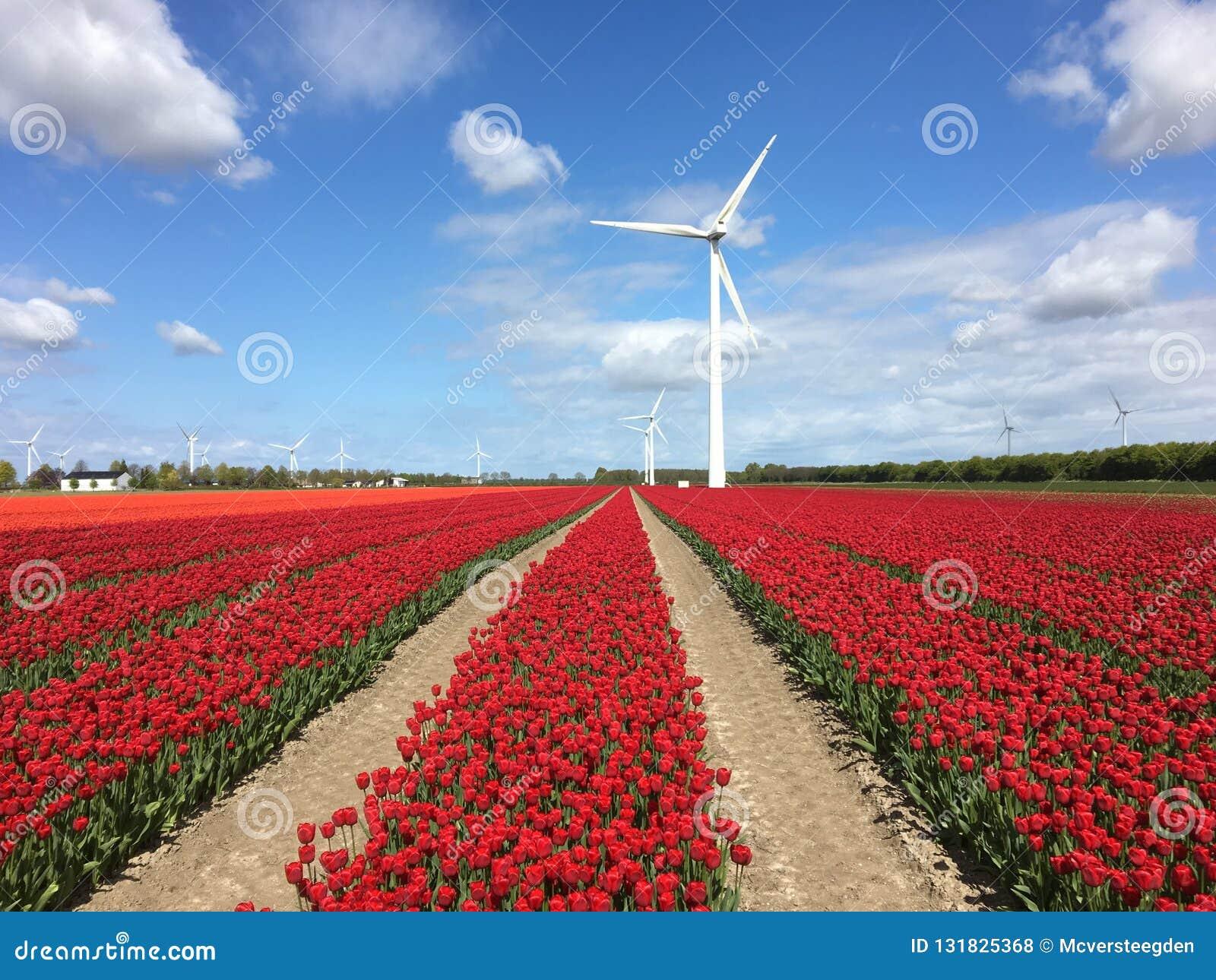 Czerwoni tulipany i wiatraczki