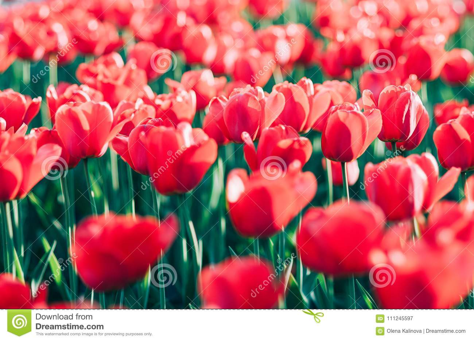 Czerwoni tulipany w pięknym nasłonecznionym sping ogródzie