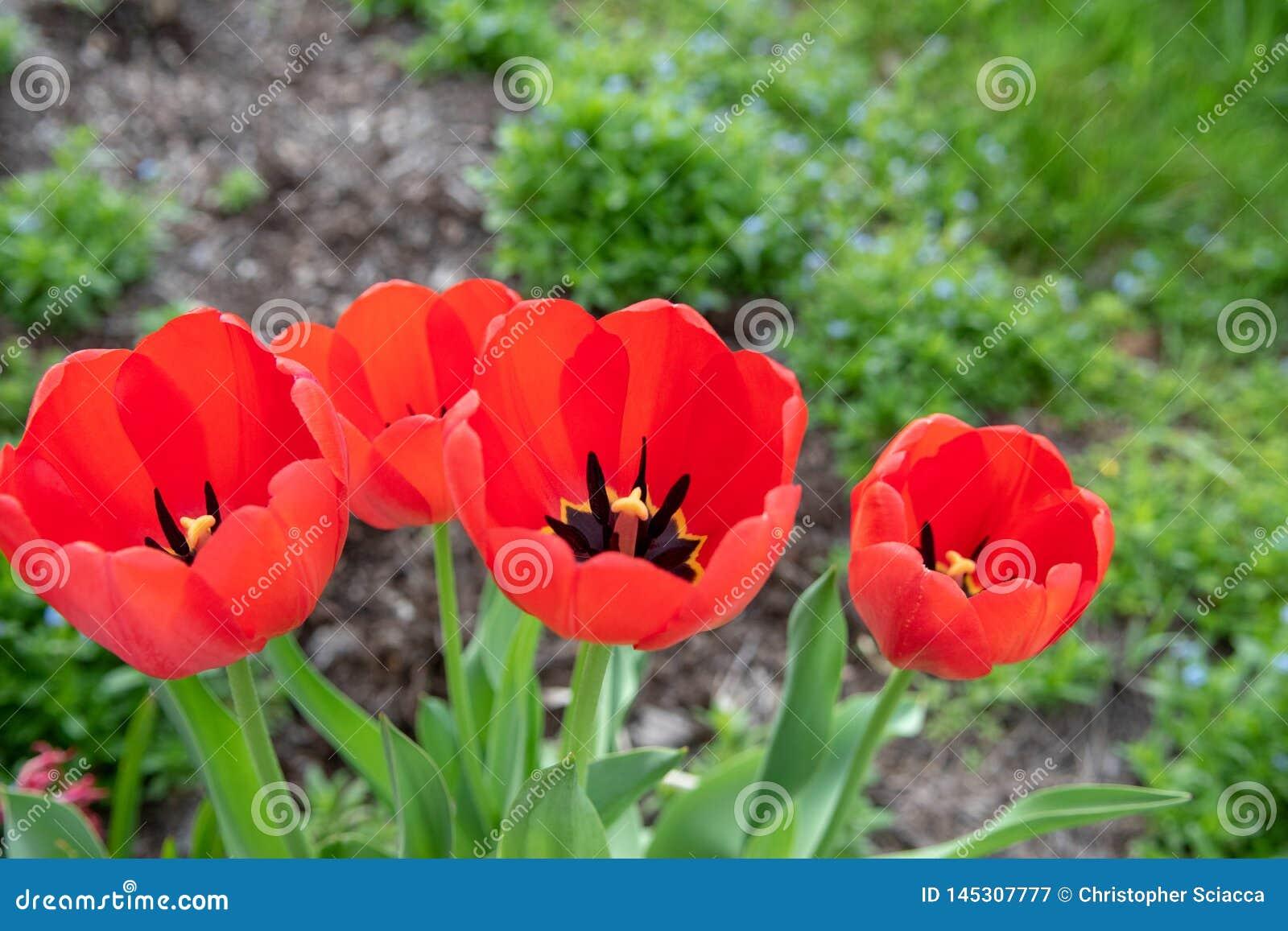 Czerwoni tulipany z płytką głębią pole na wiosna ranku