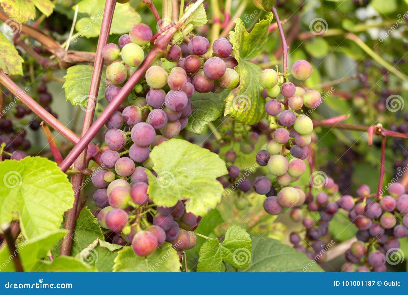 Czerwoni winogrona dojrzewają na winogradzie