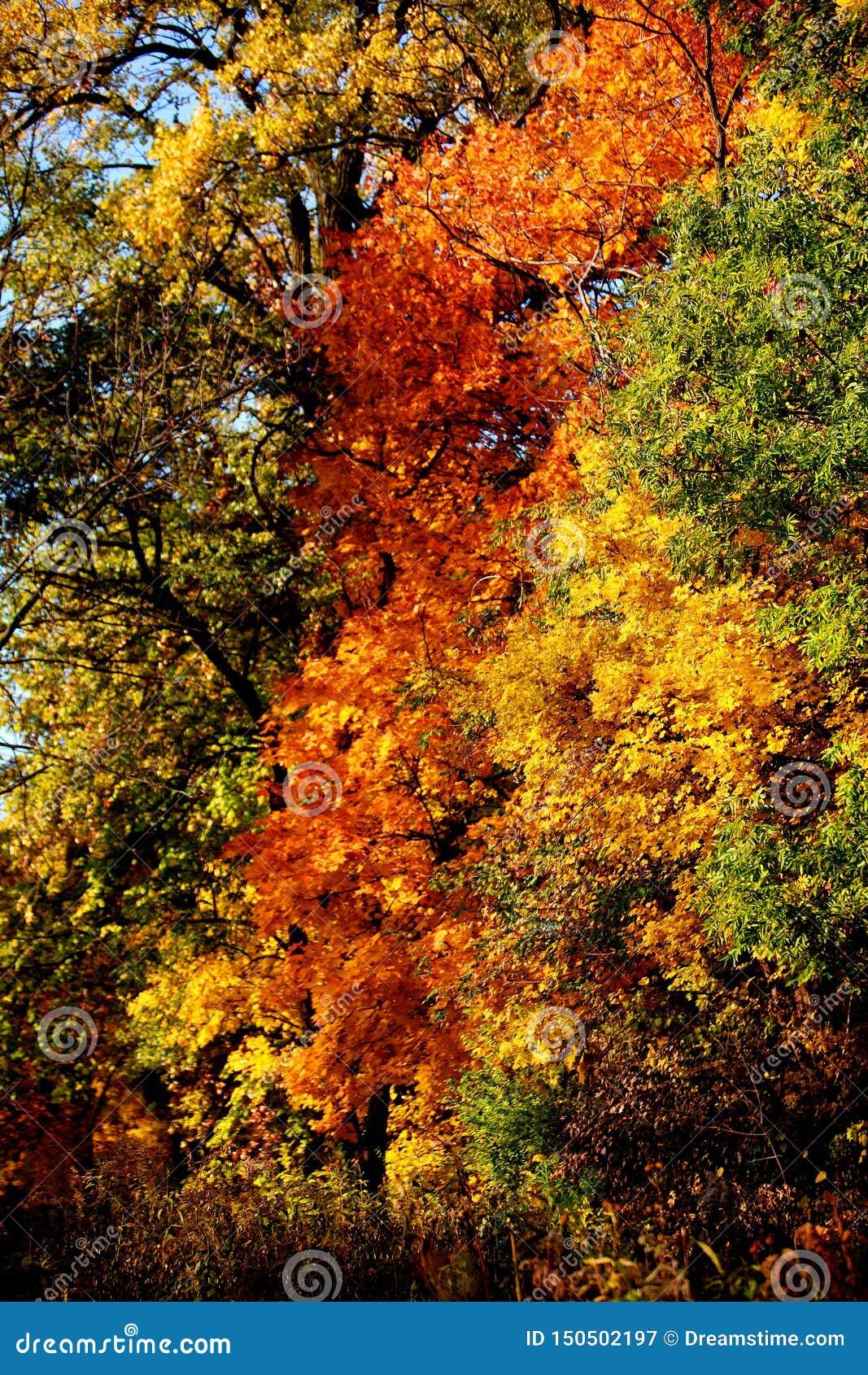 Czerwoni yellowish zieleni dębowi liście zakrywają gałąź