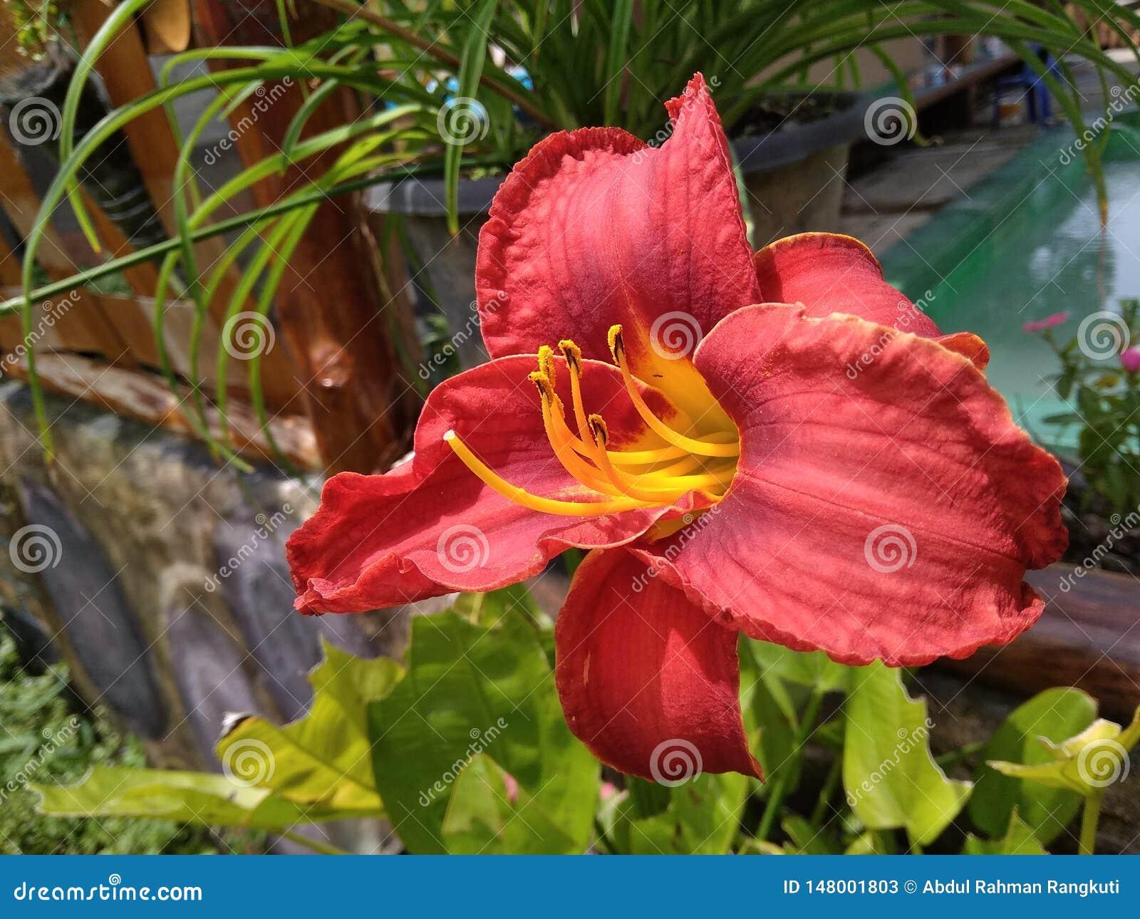 Czerwony amarylka kwiat