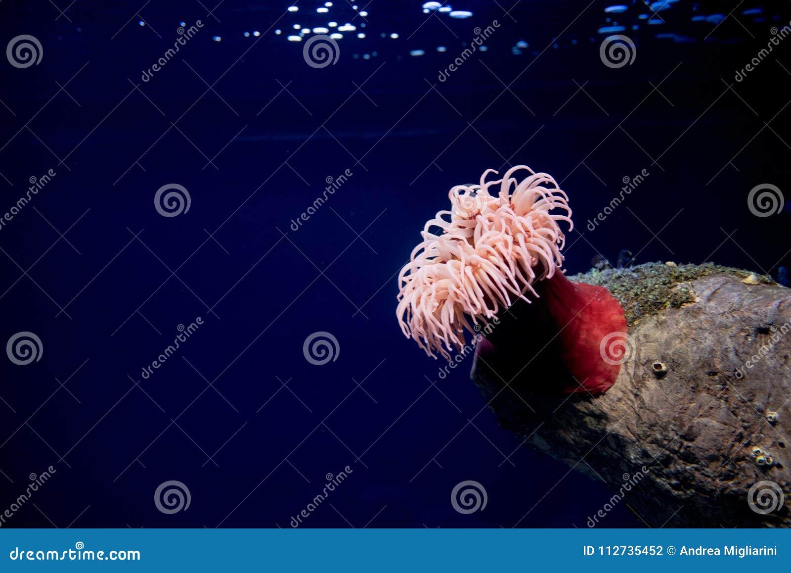 Czerwony denny anemon, actinaria, oceanario de Lisboa, Lisbon