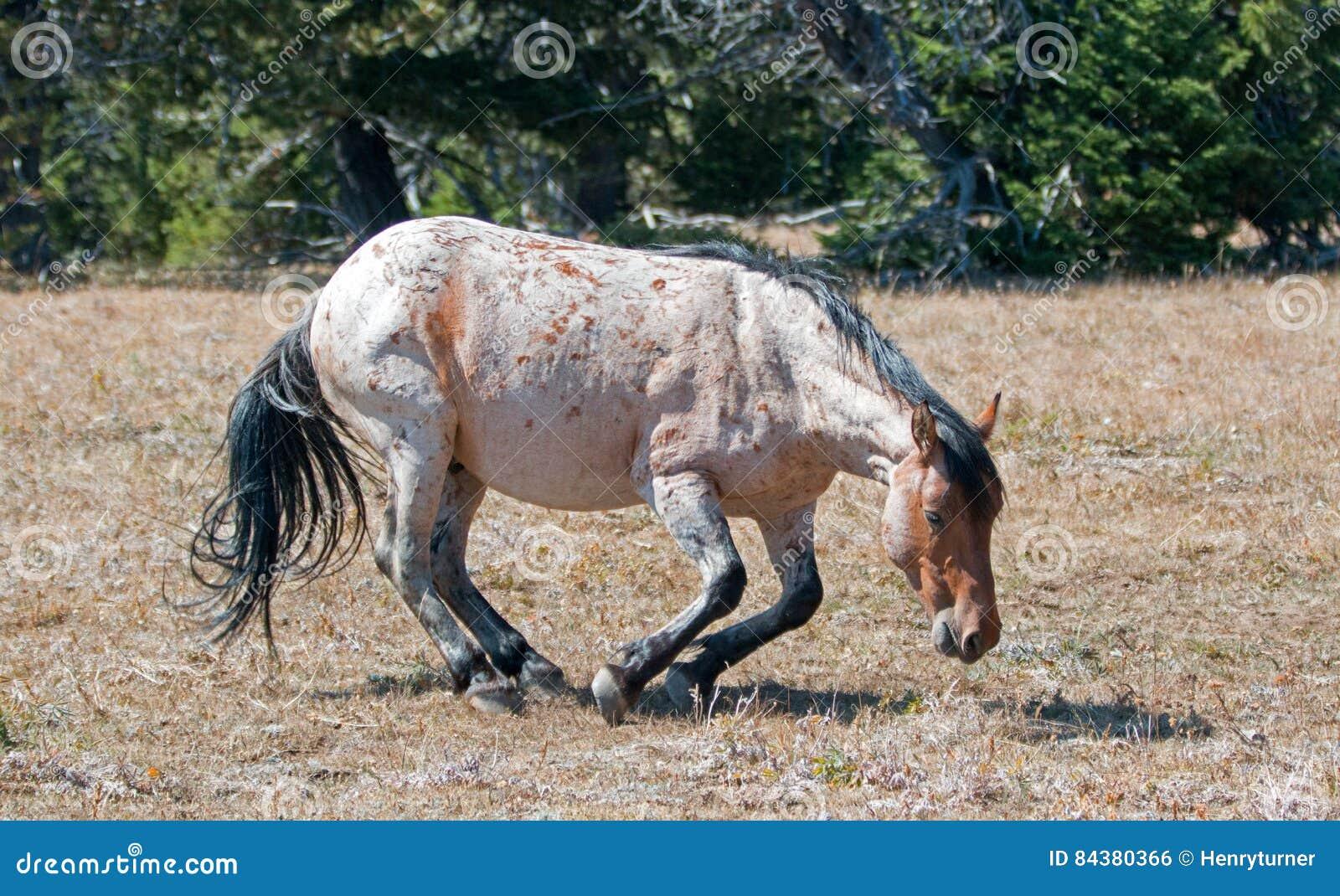 Czerwony Dereszowaty Dziki ogier wokoło staczać się w brudzie w Pryor Dzikiego konia Halnym pasmie w Montana
