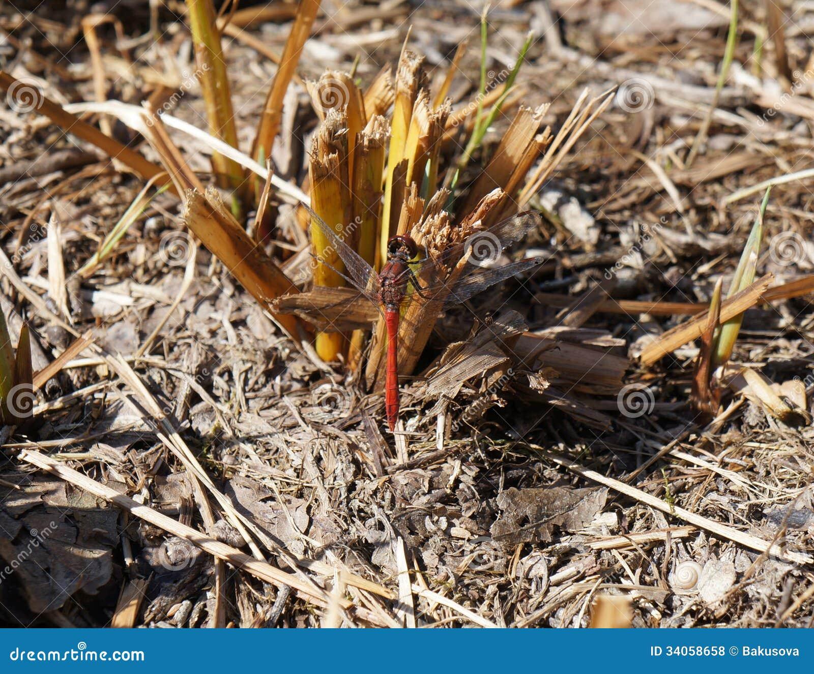 Czerwony dragonfly