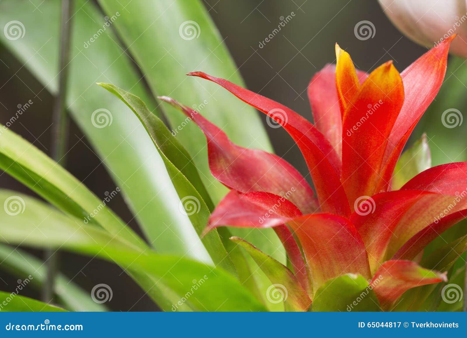 Czerwony guzmania kwiat