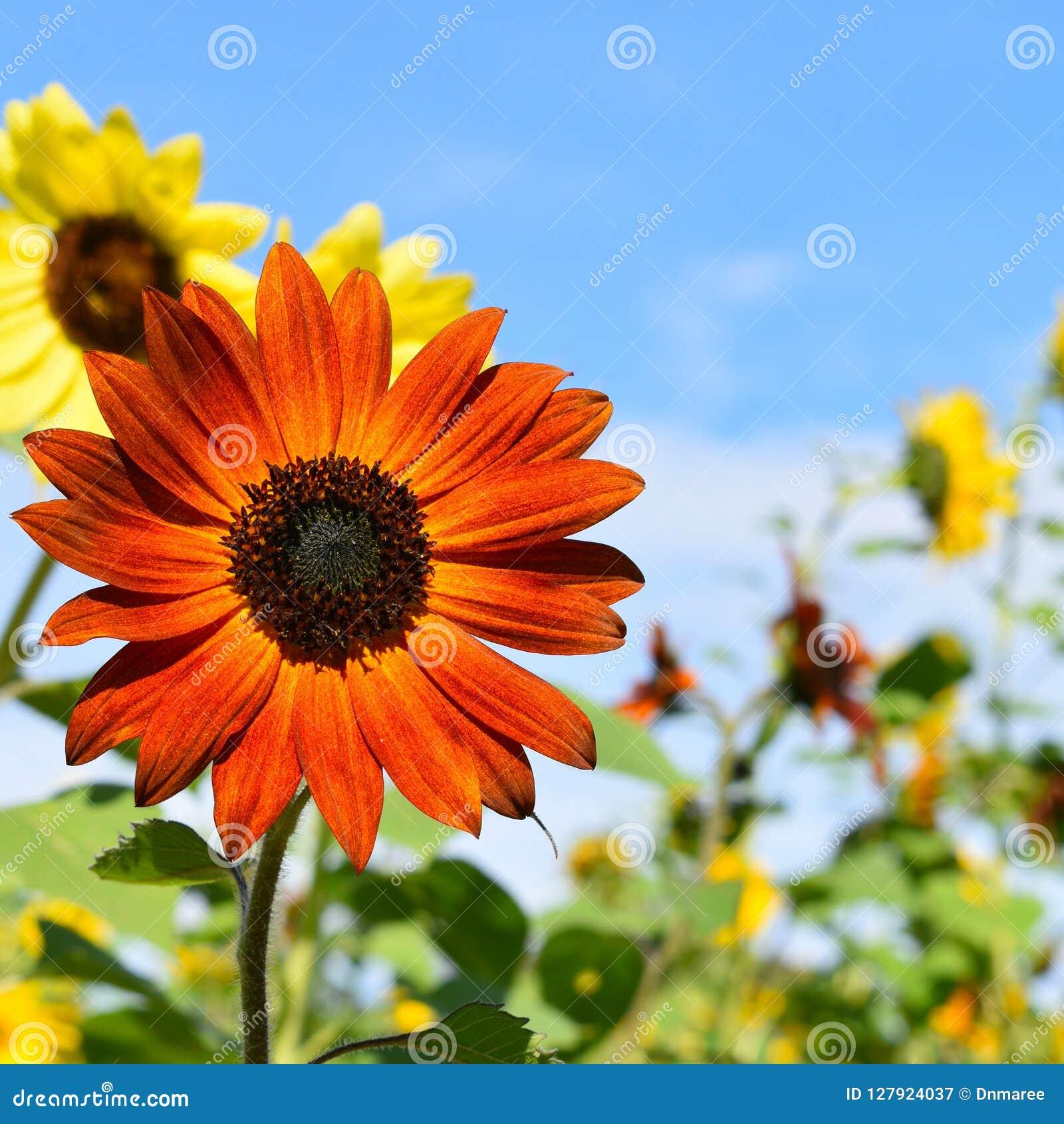 Czerwony i Żółty słonecznik na spadku dniu w Littleton, Massachusetts, Middlesex okręg administracyjny, Stany Zjednoczone Nowa An