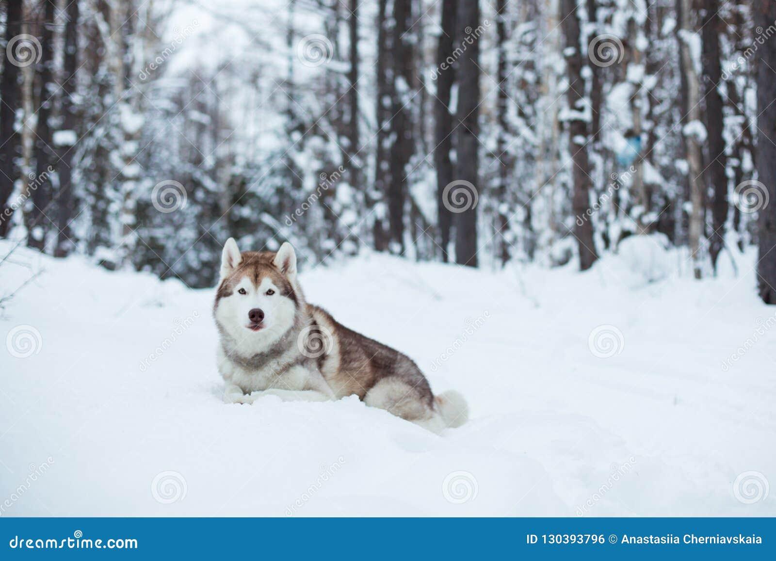 Czerwony i biały husky pies kłama na śniegu w zima lesie