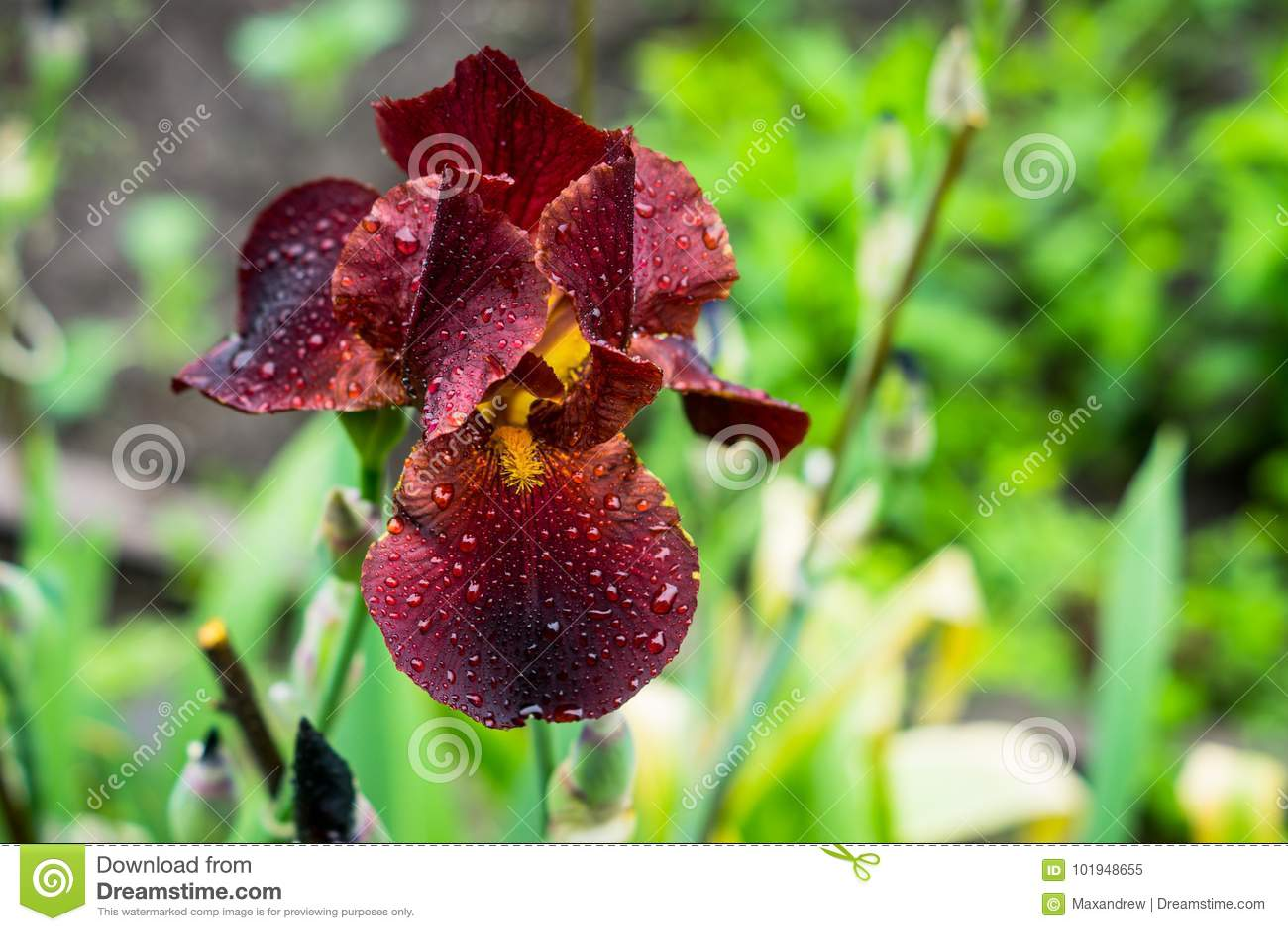 Czerwony irysowy kwiatu kwitnienie w ogródzie
